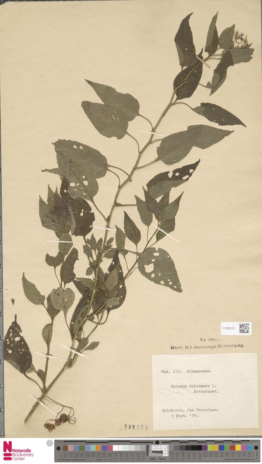 L.3382523 | Solanum dulcamara L.