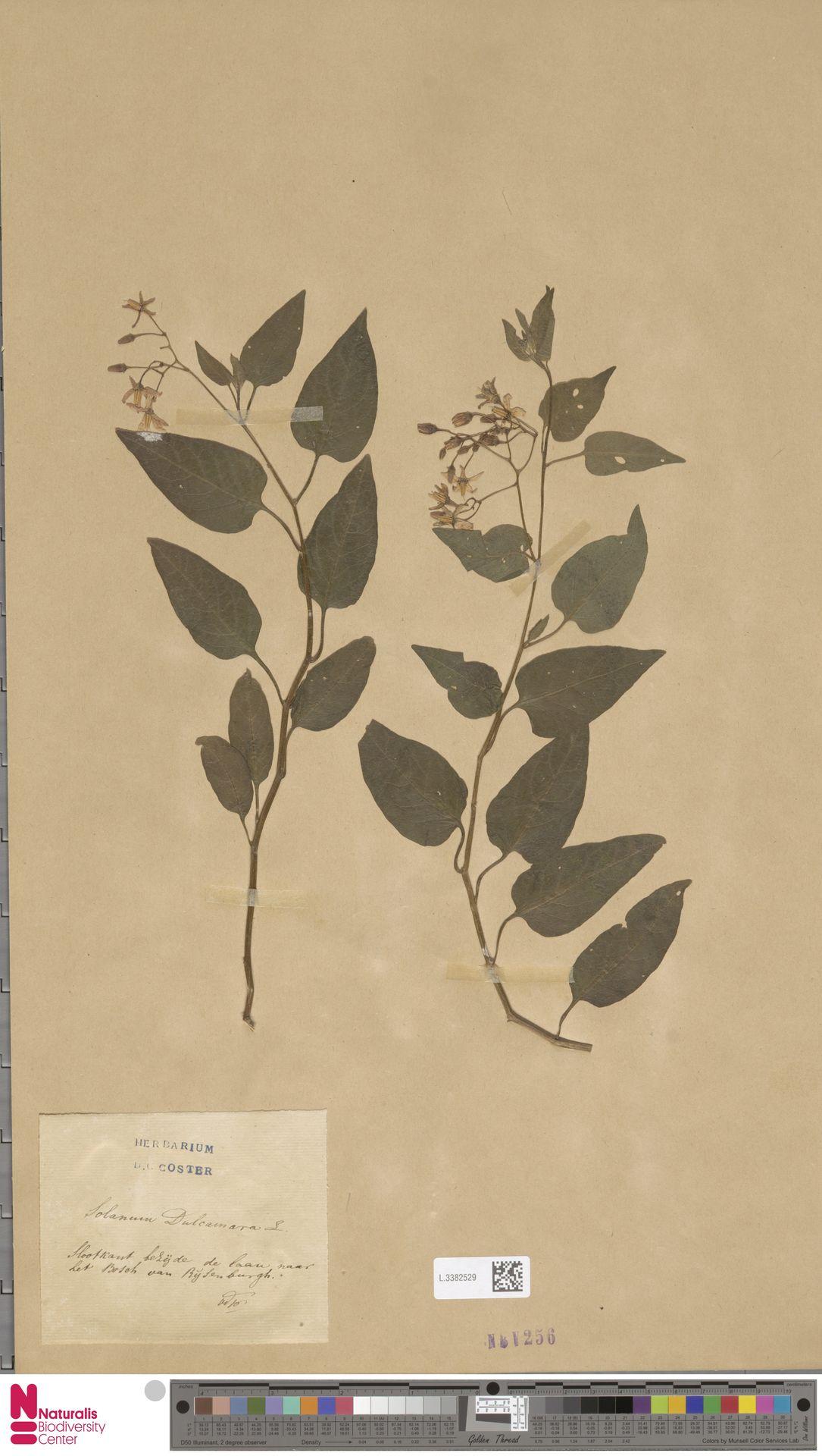L.3382529   Solanum dulcamara L.