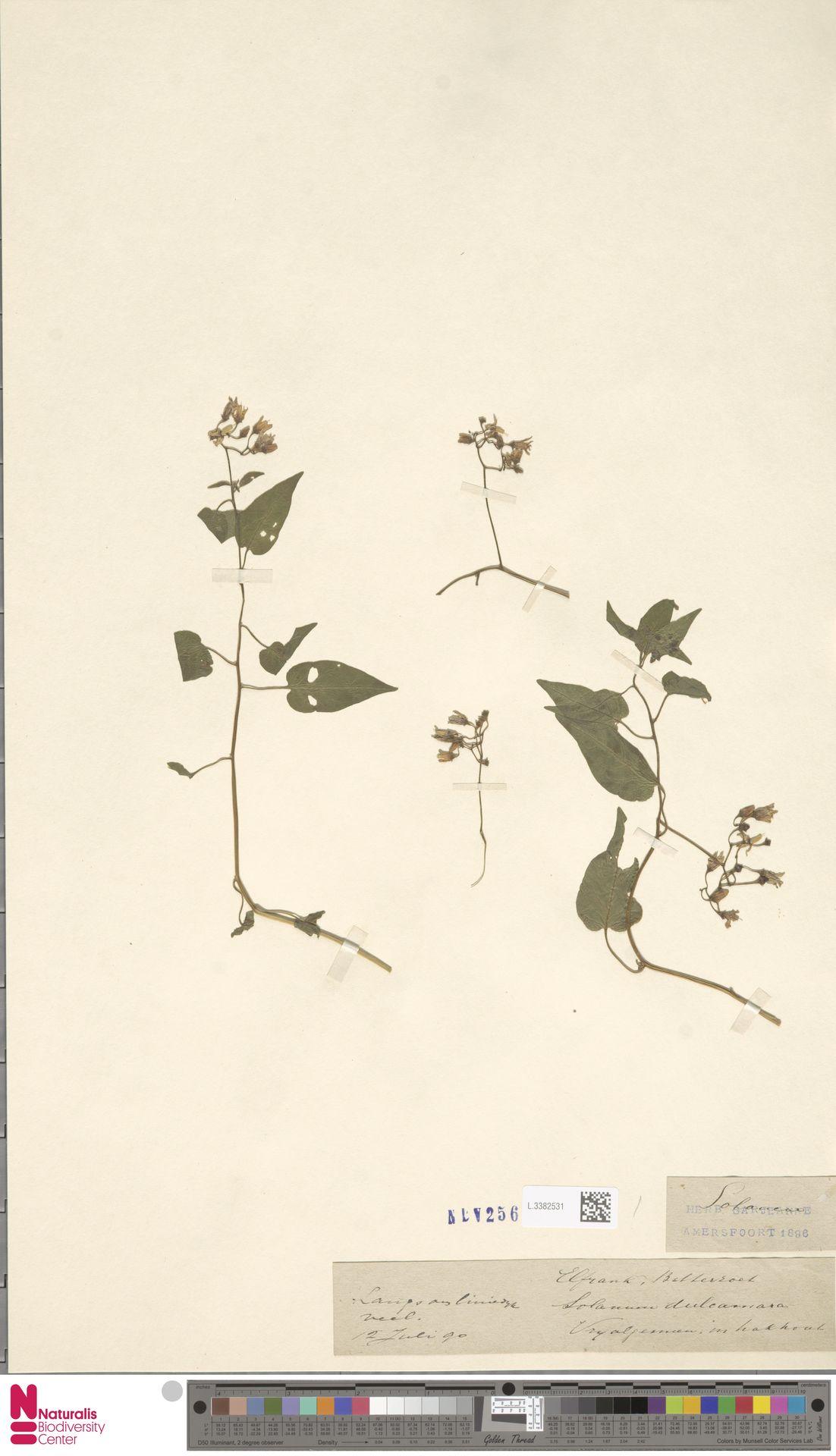 L.3382531 | Solanum dulcamara L.