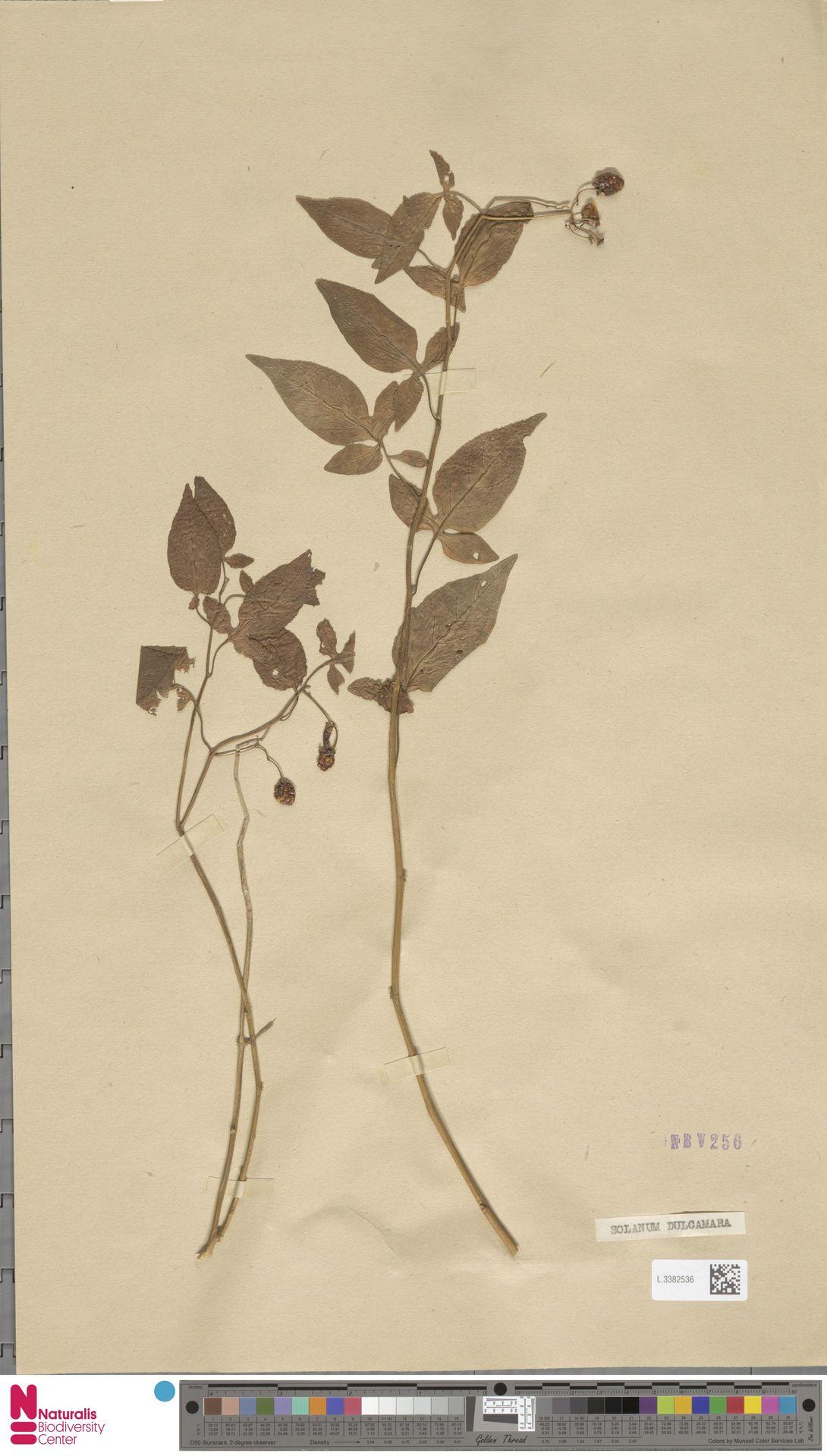 L.3382536 | Solanum dulcamara L.