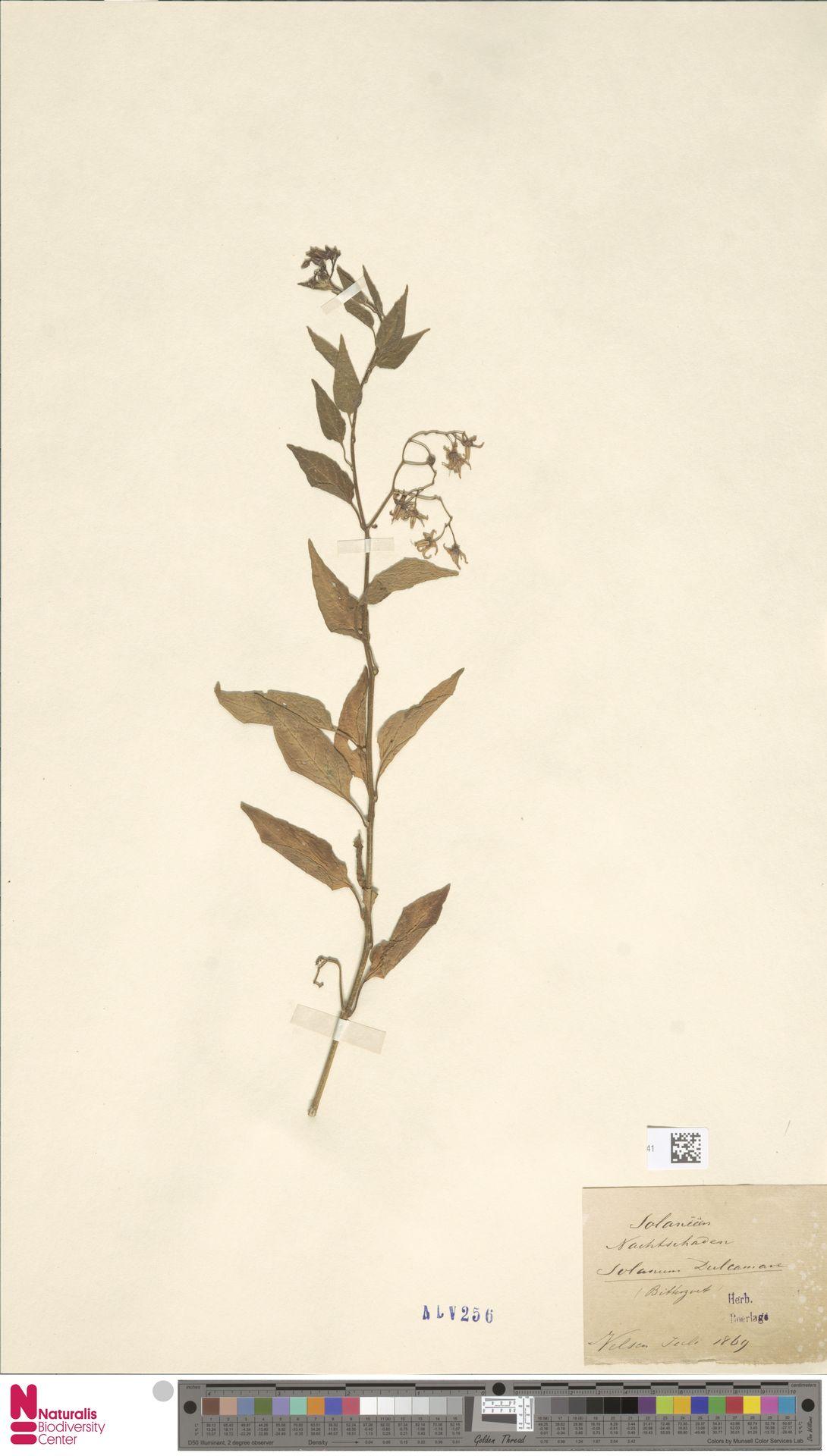 L.3382541 | Solanum dulcamara L.