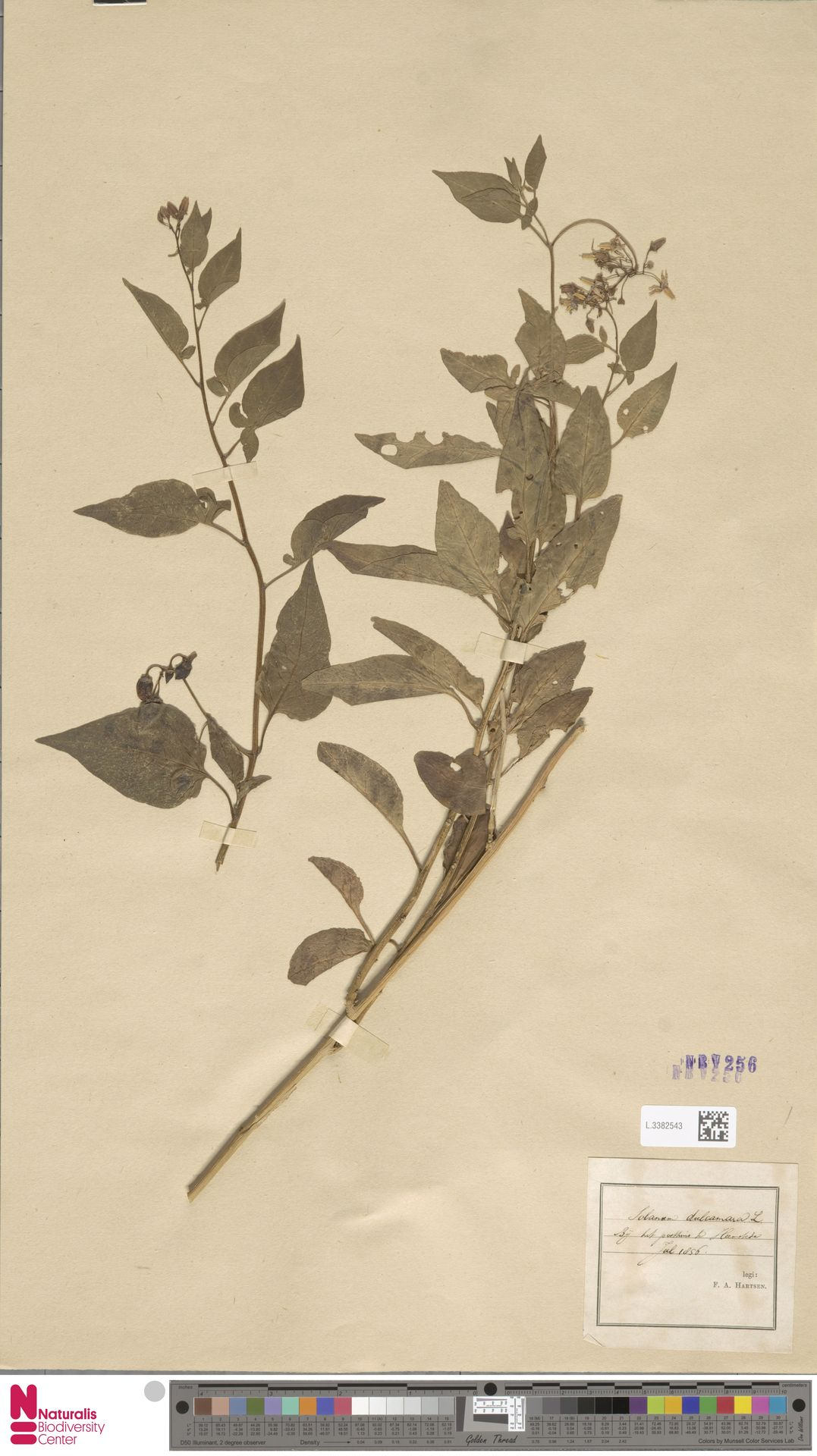 L.3382543 | Solanum dulcamara L.