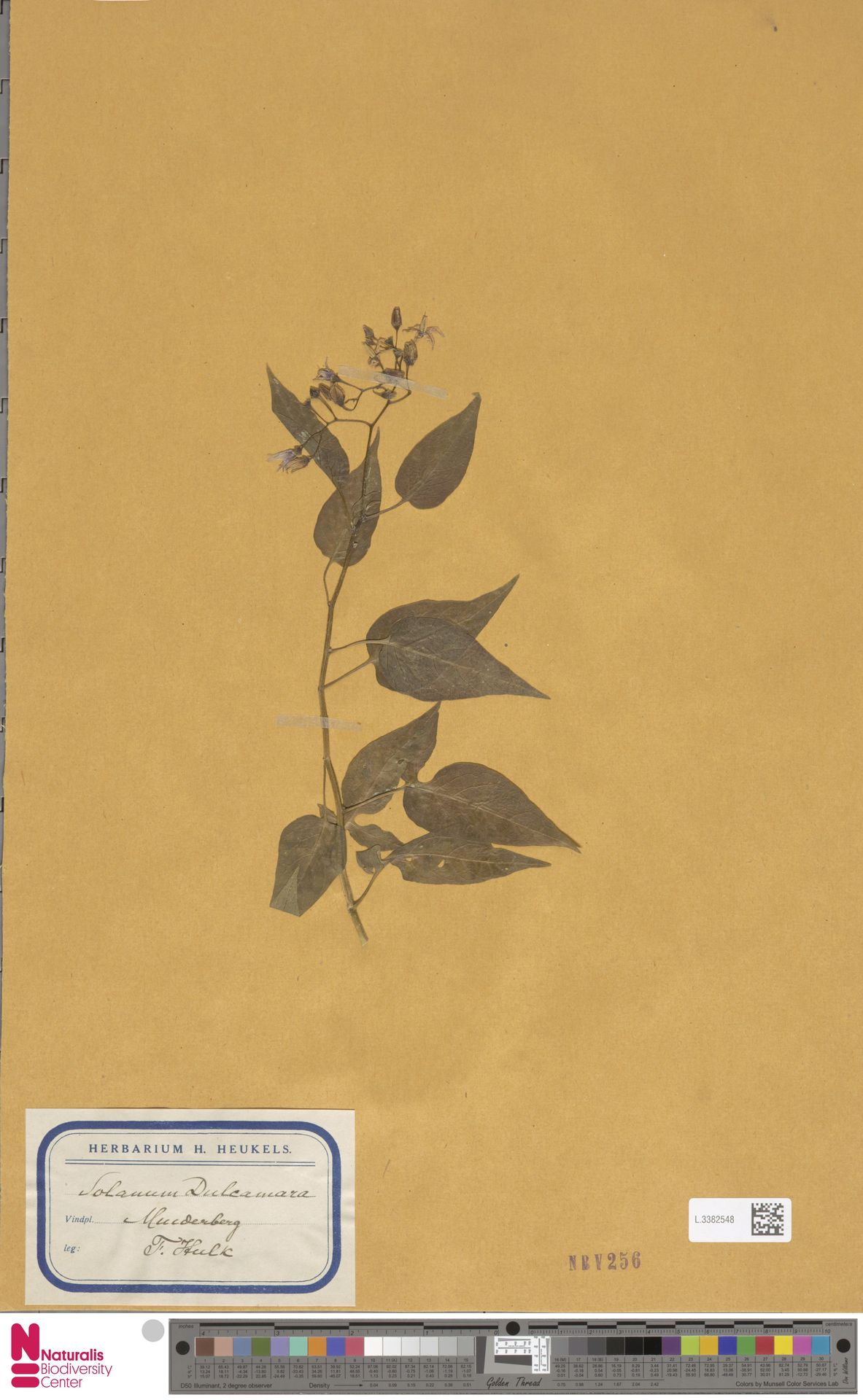 L.3382548   Solanum dulcamara L.