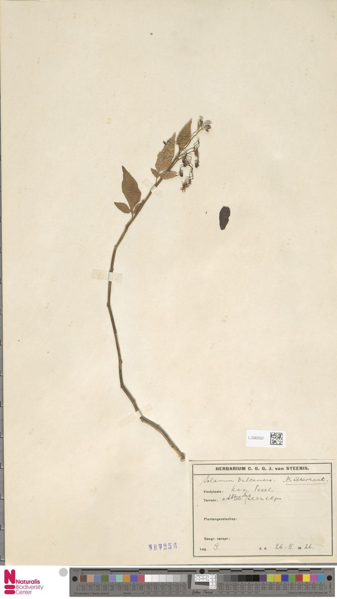 L.3382552 | Solanum dulcamara L.