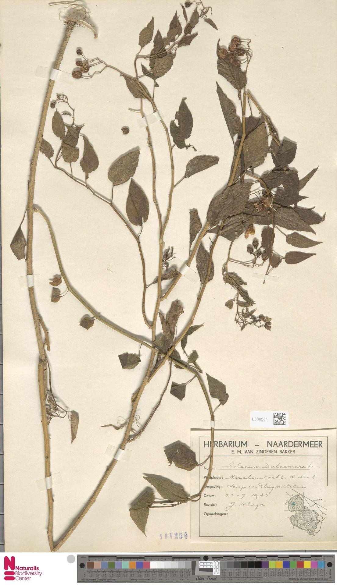 L.3382557 | Solanum dulcamara L.