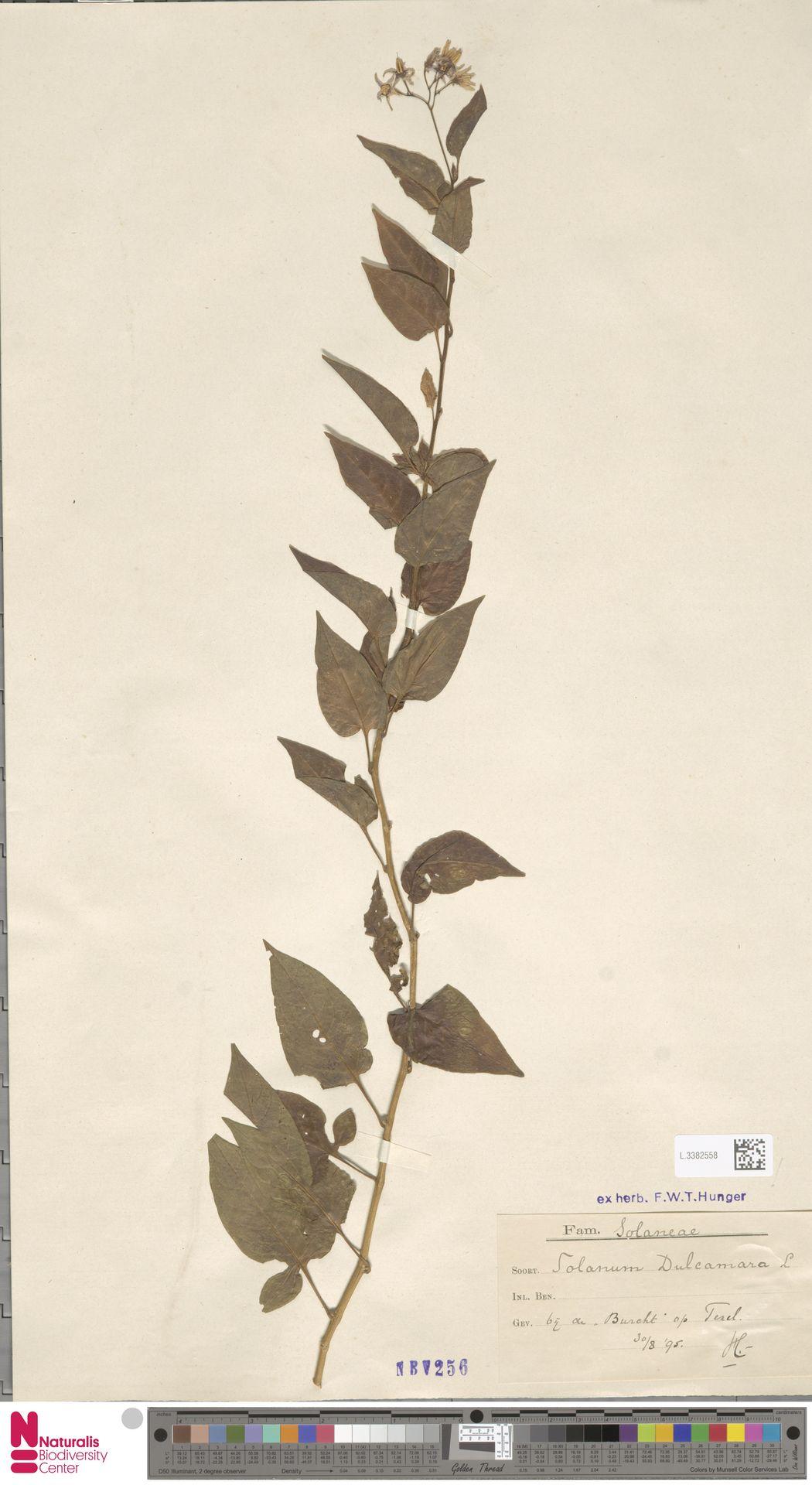 L.3382558   Solanum dulcamara L.