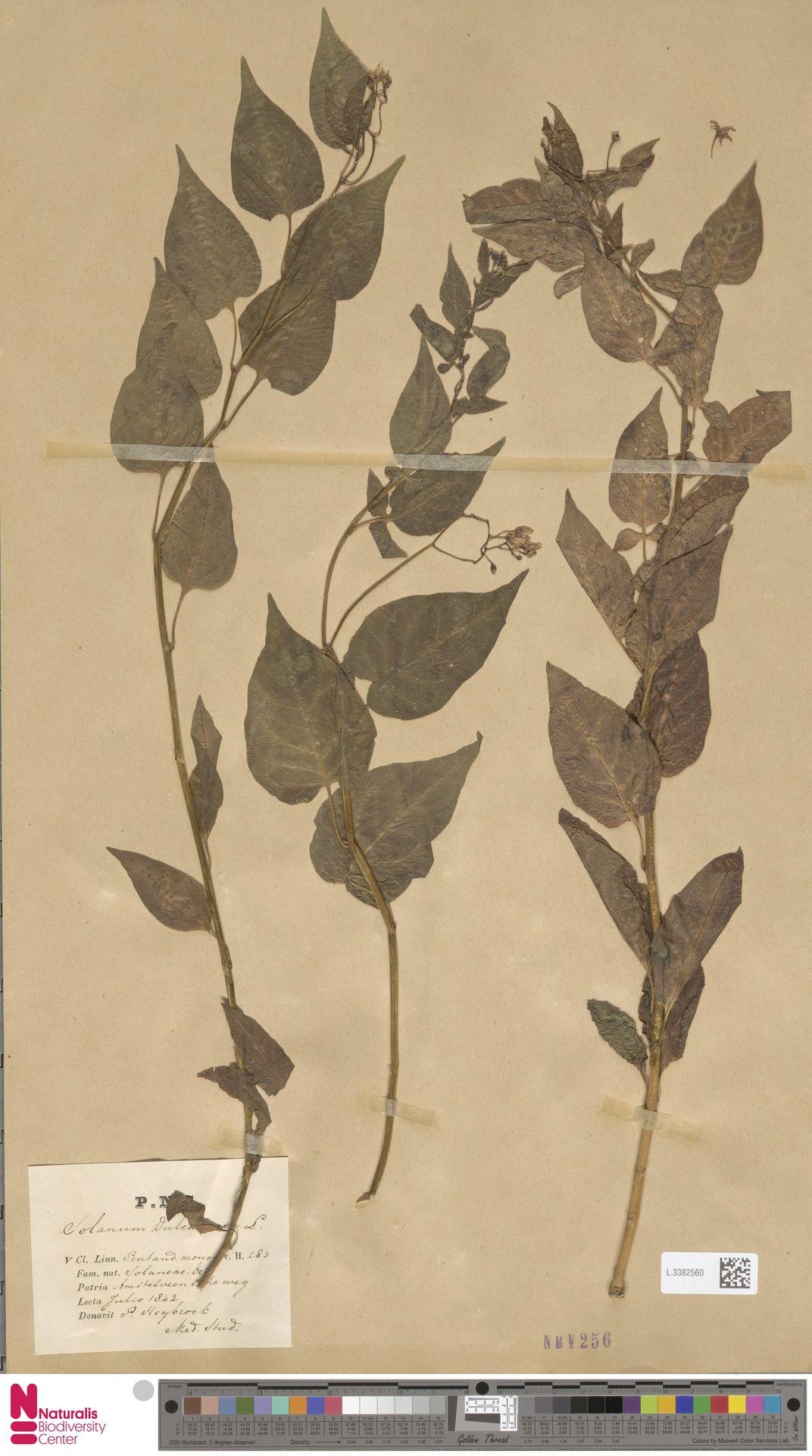 L.3382560 | Solanum dulcamara L.