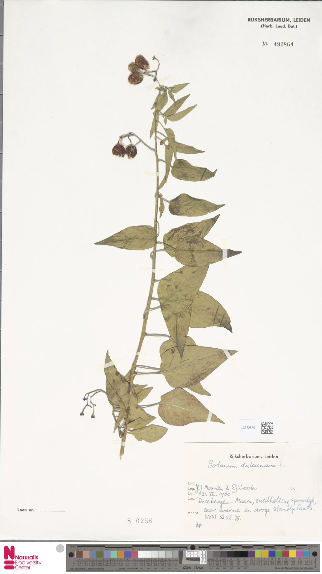 L.3382569 | Solanum dulcamara L.