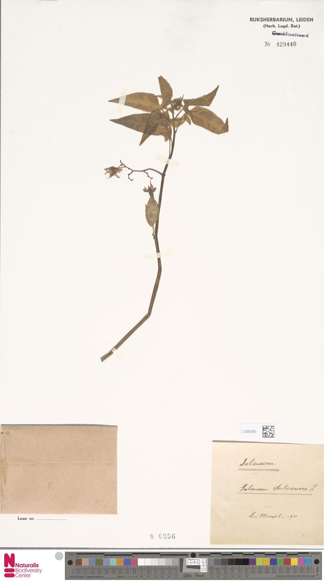 L.3382580 | Solanum dulcamara L.