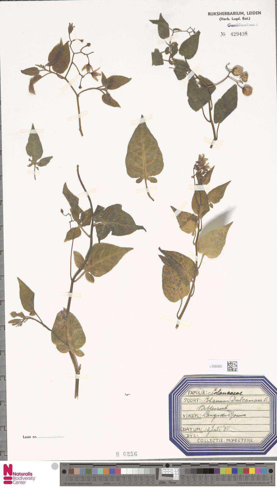 L.3382583 | Solanum dulcamara L.