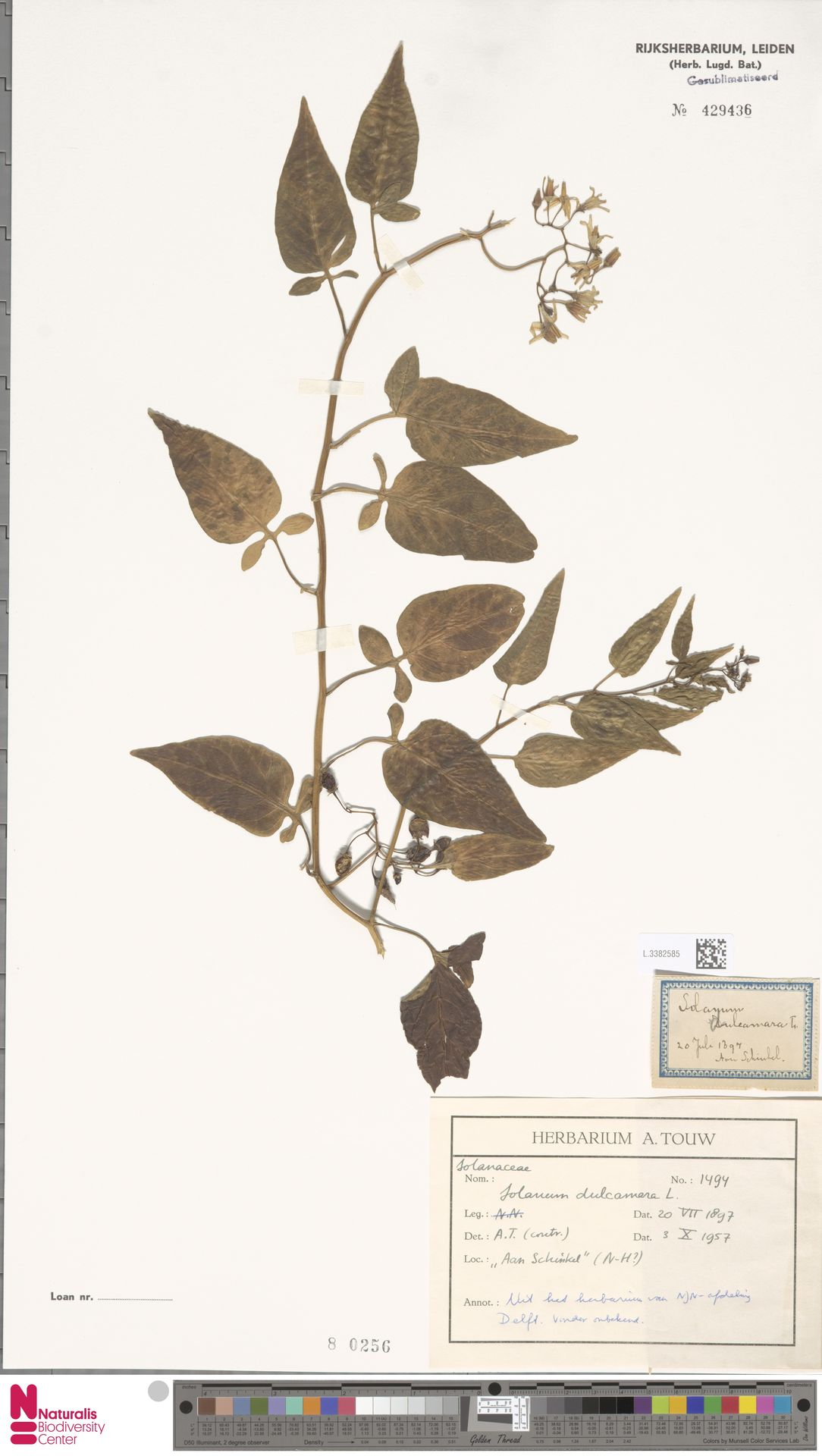 L.3382585 | Solanum dulcamara L.
