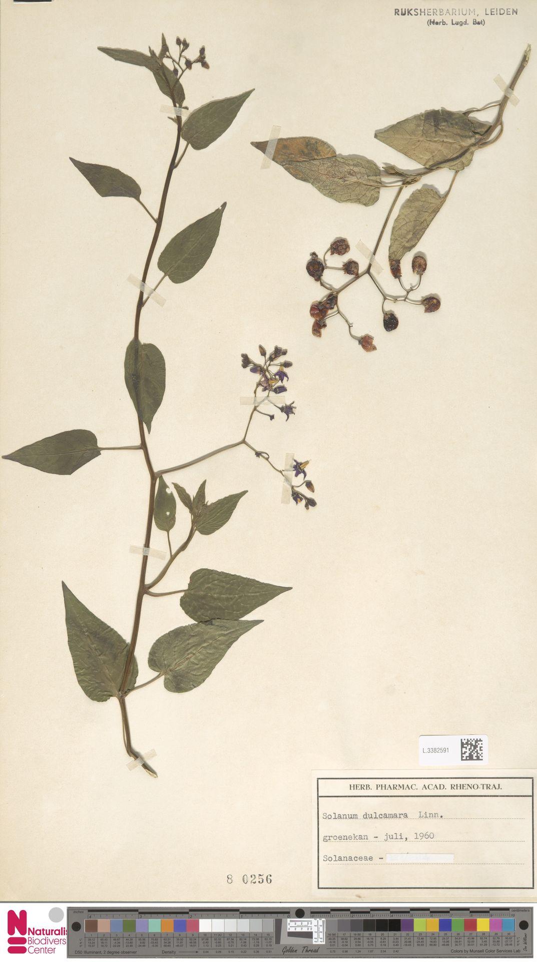 L.3382591 | Solanum dulcamara L.