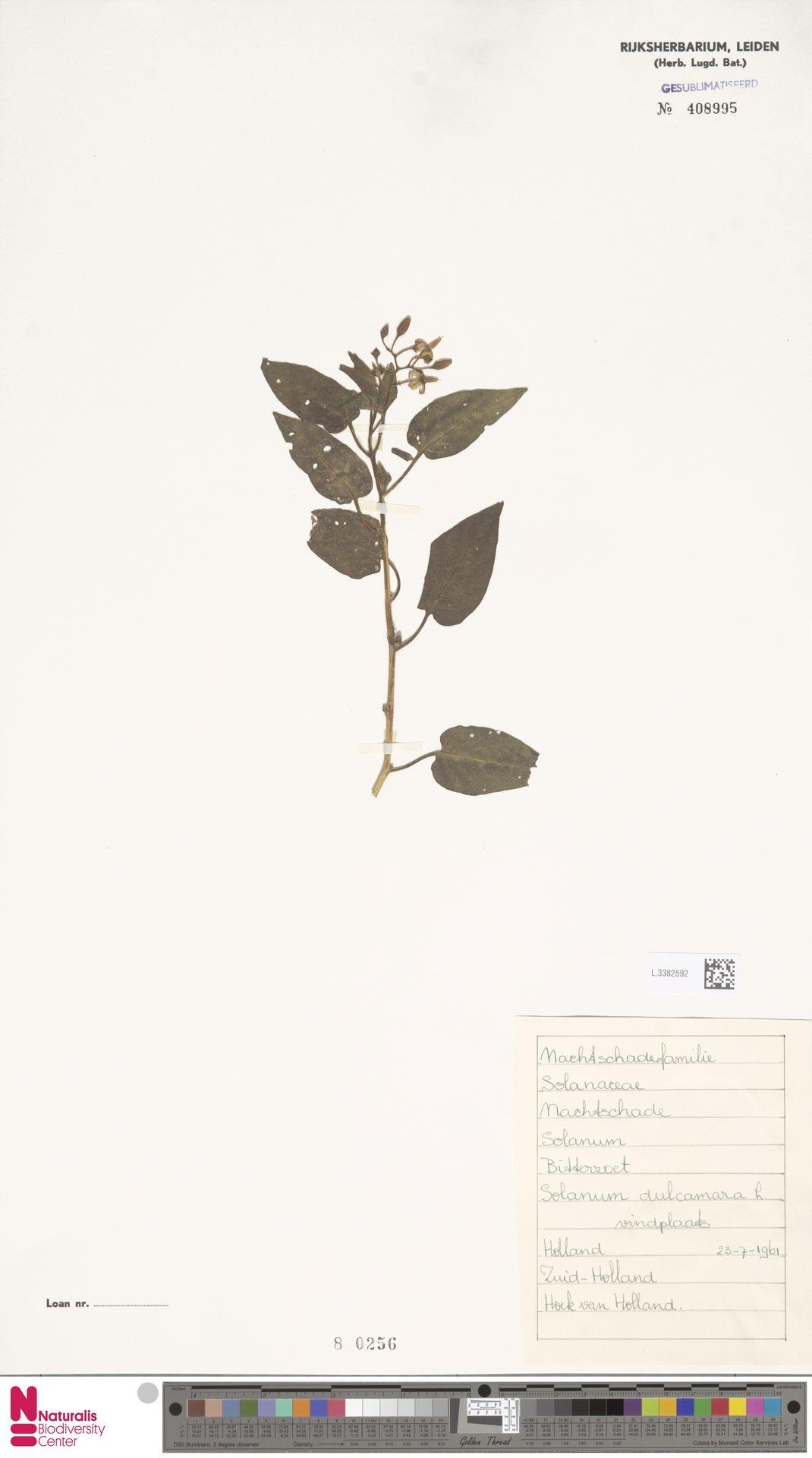 L.3382592   Solanum dulcamara L.