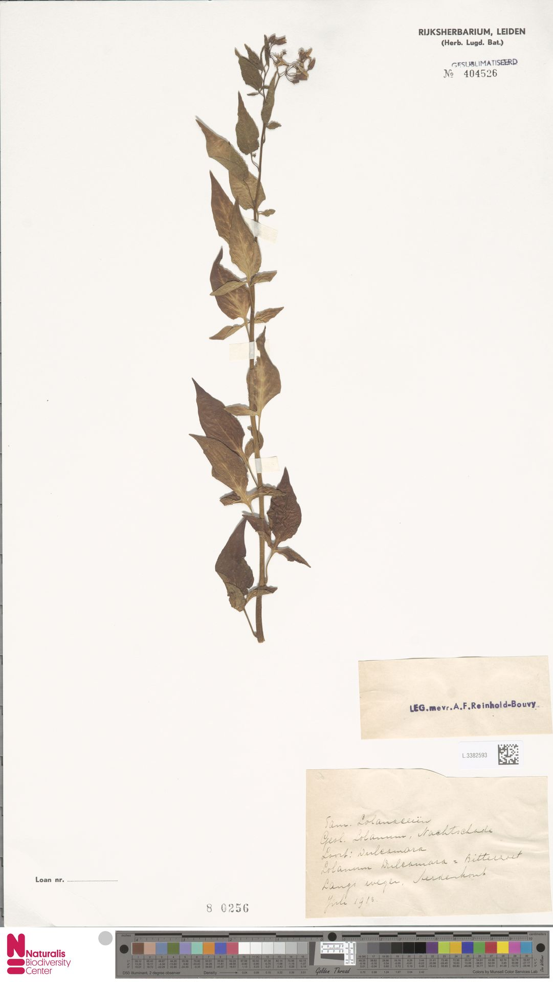 L.3382593   Solanum dulcamara L.