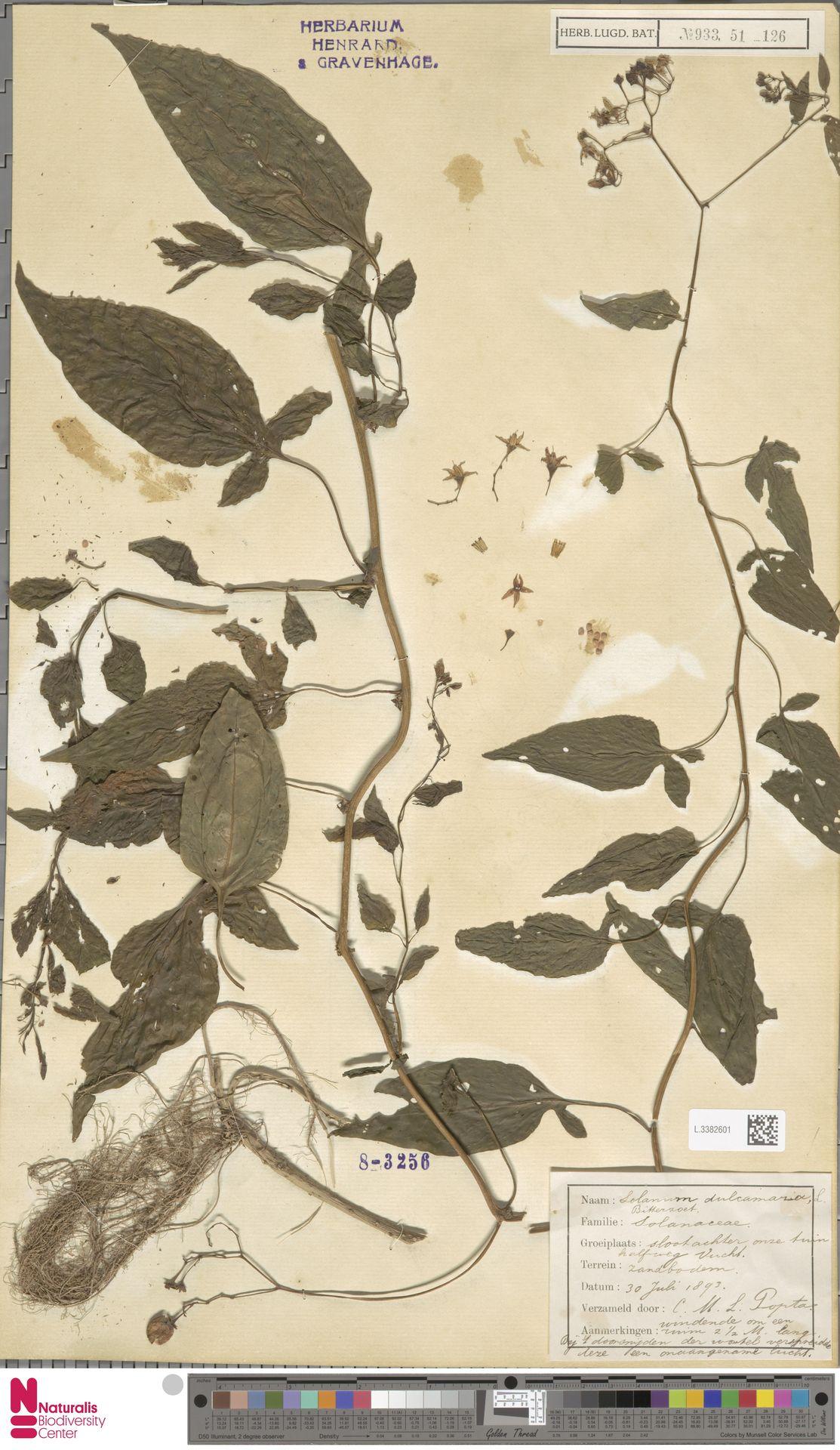 L.3382601 | Solanum dulcamara L.