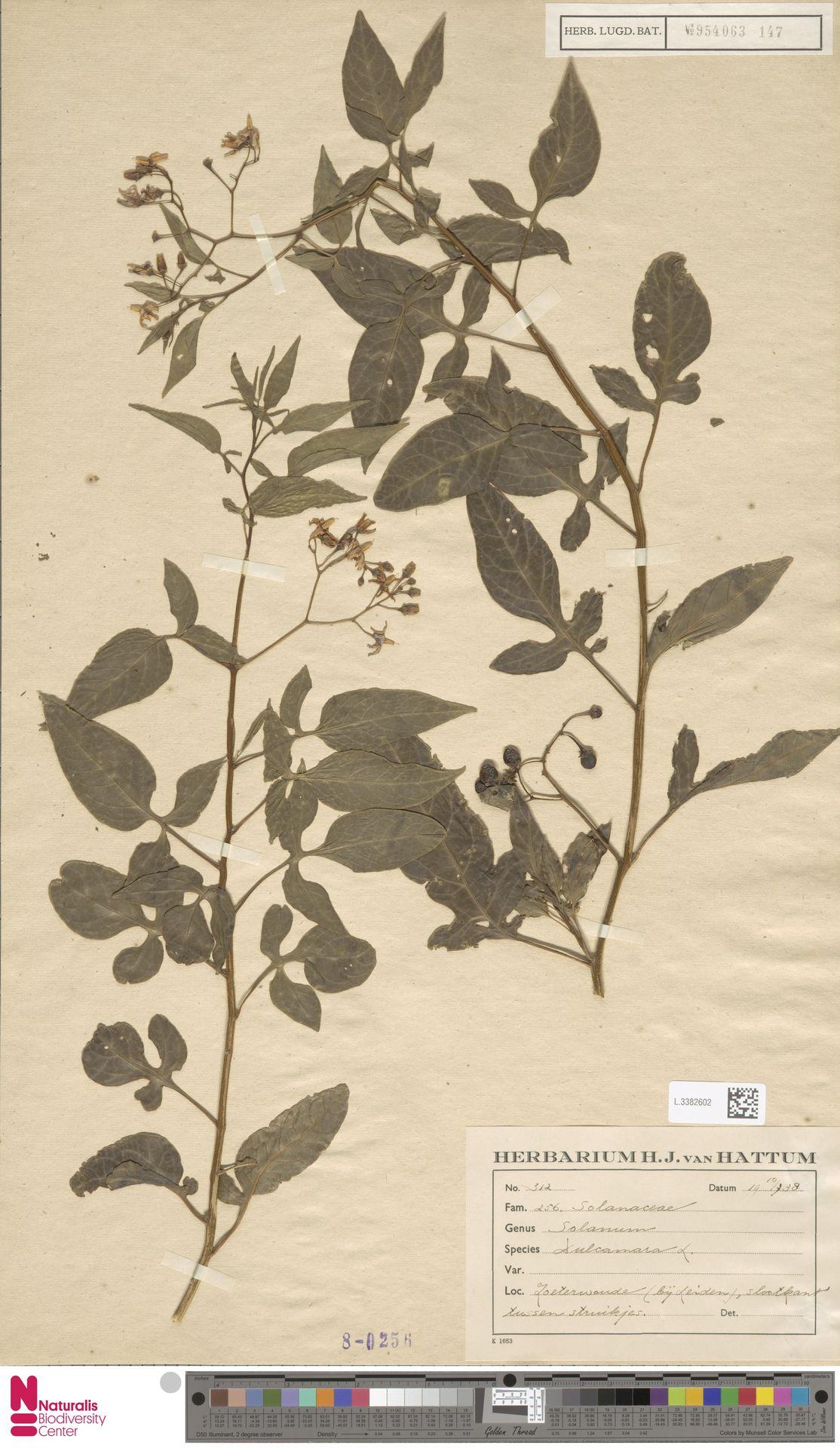 L.3382602 | Solanum dulcamara L.