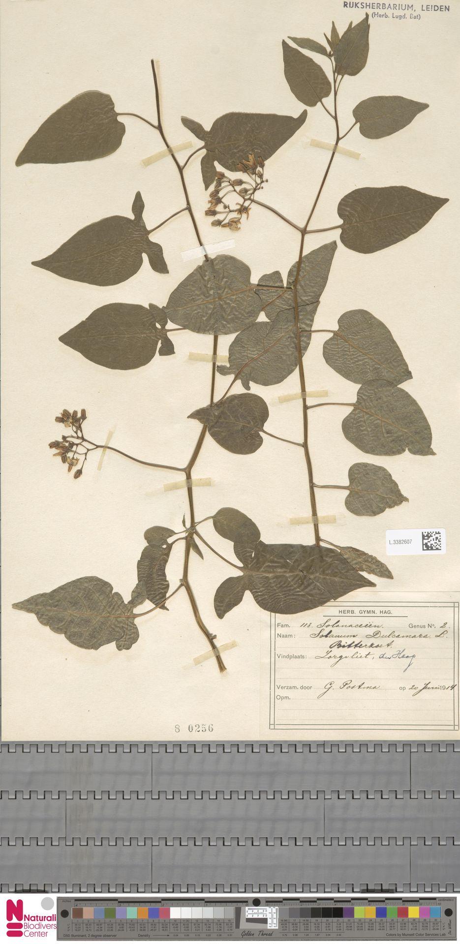 L.3382607 | Solanum dulcamara L.