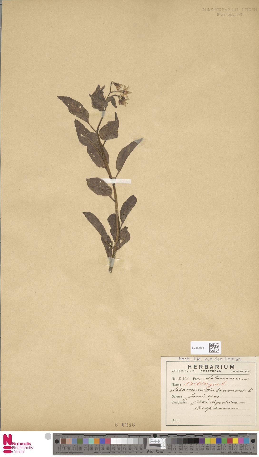 L.3382608 | Solanum dulcamara L.