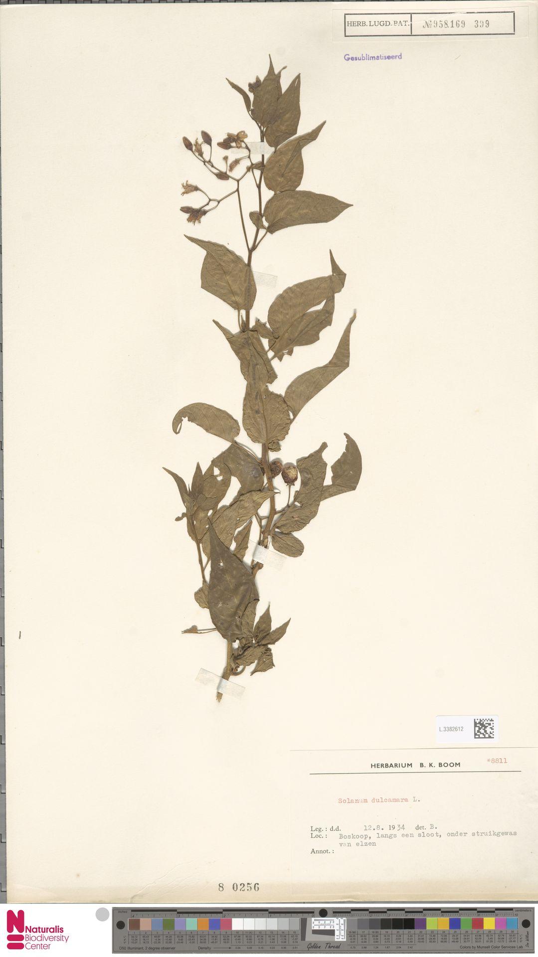 L.3382612 | Solanum dulcamara L.