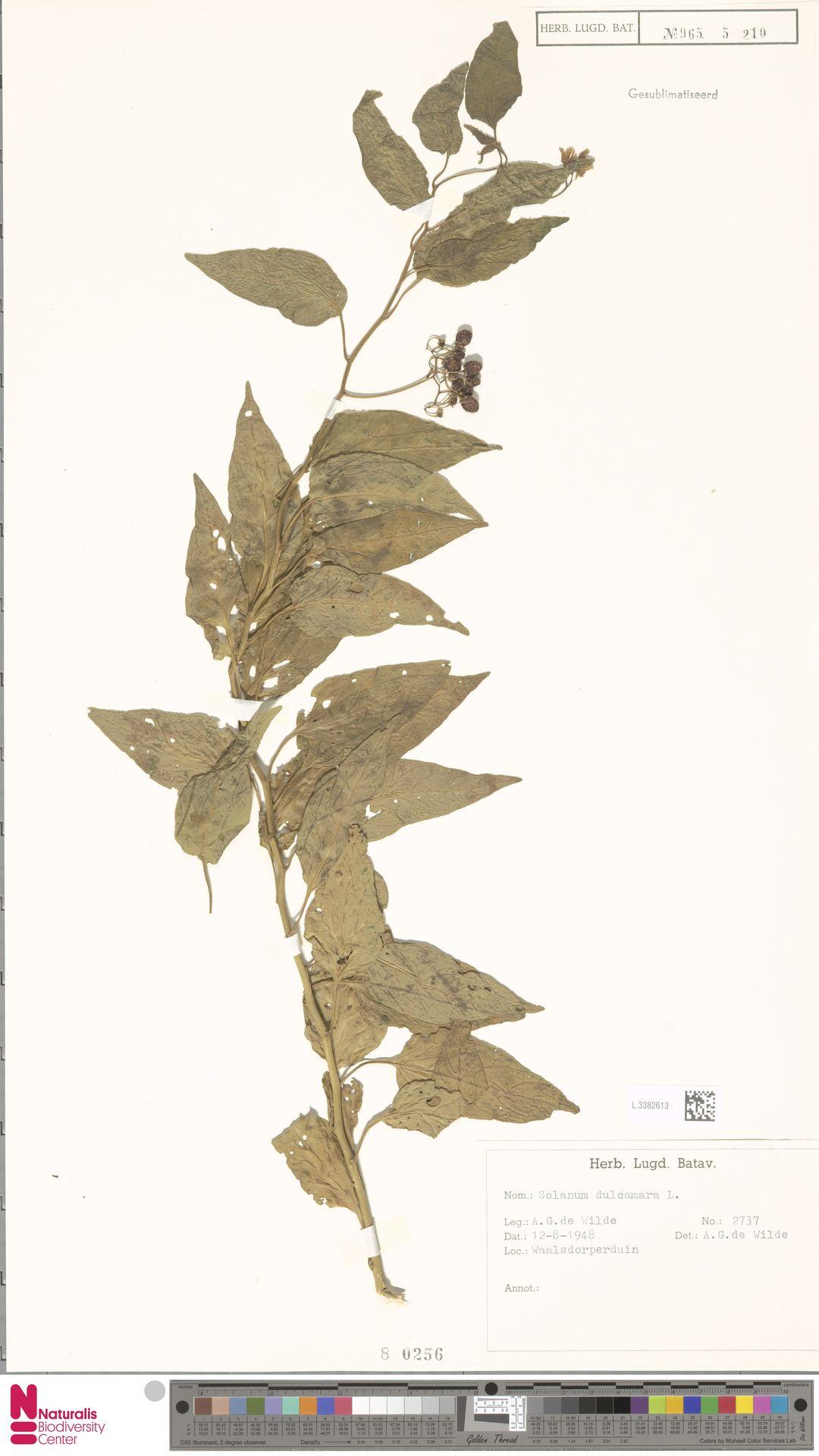 L.3382613 | Solanum dulcamara L.