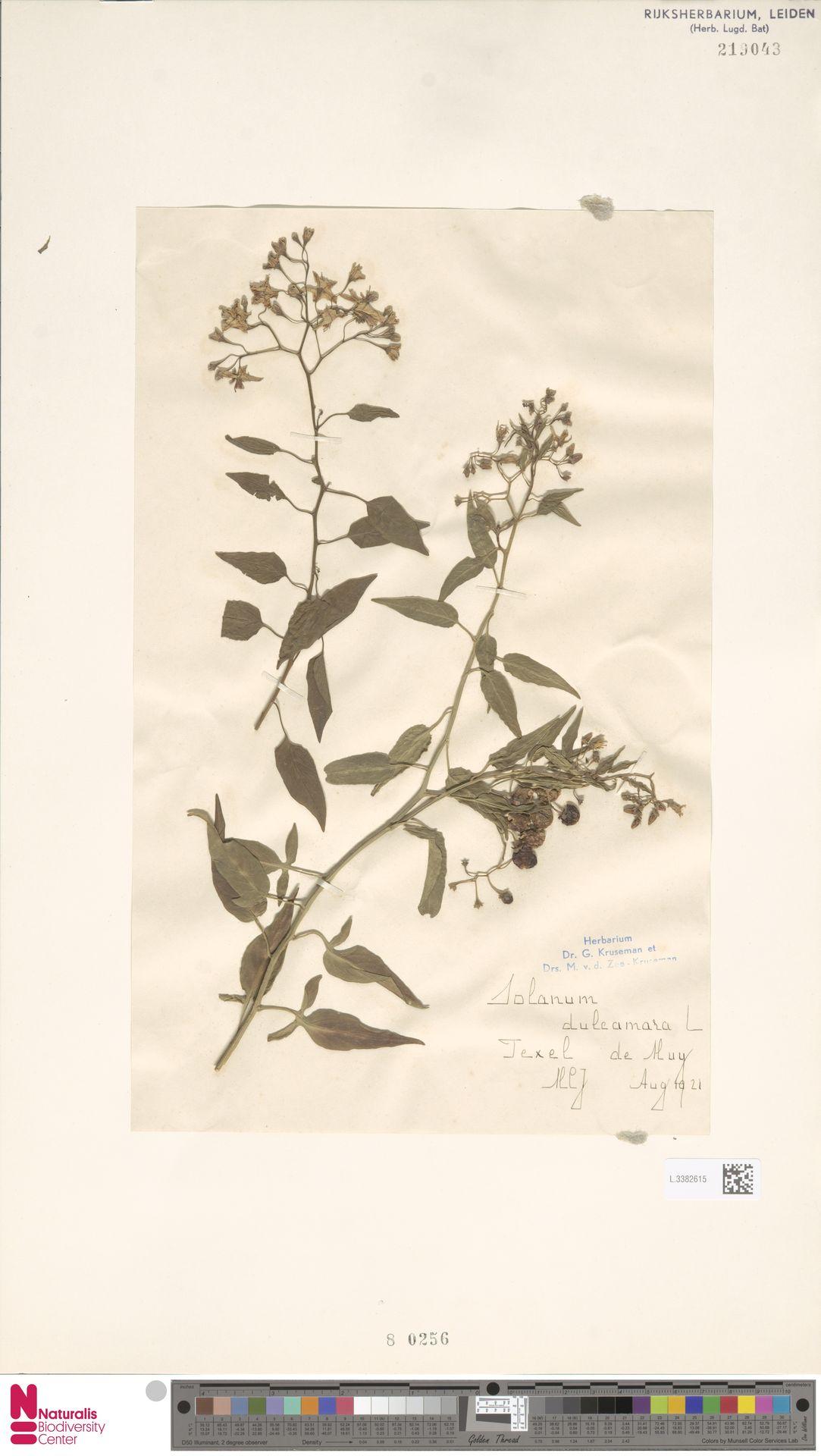 L.3382615   Solanum dulcamara L.