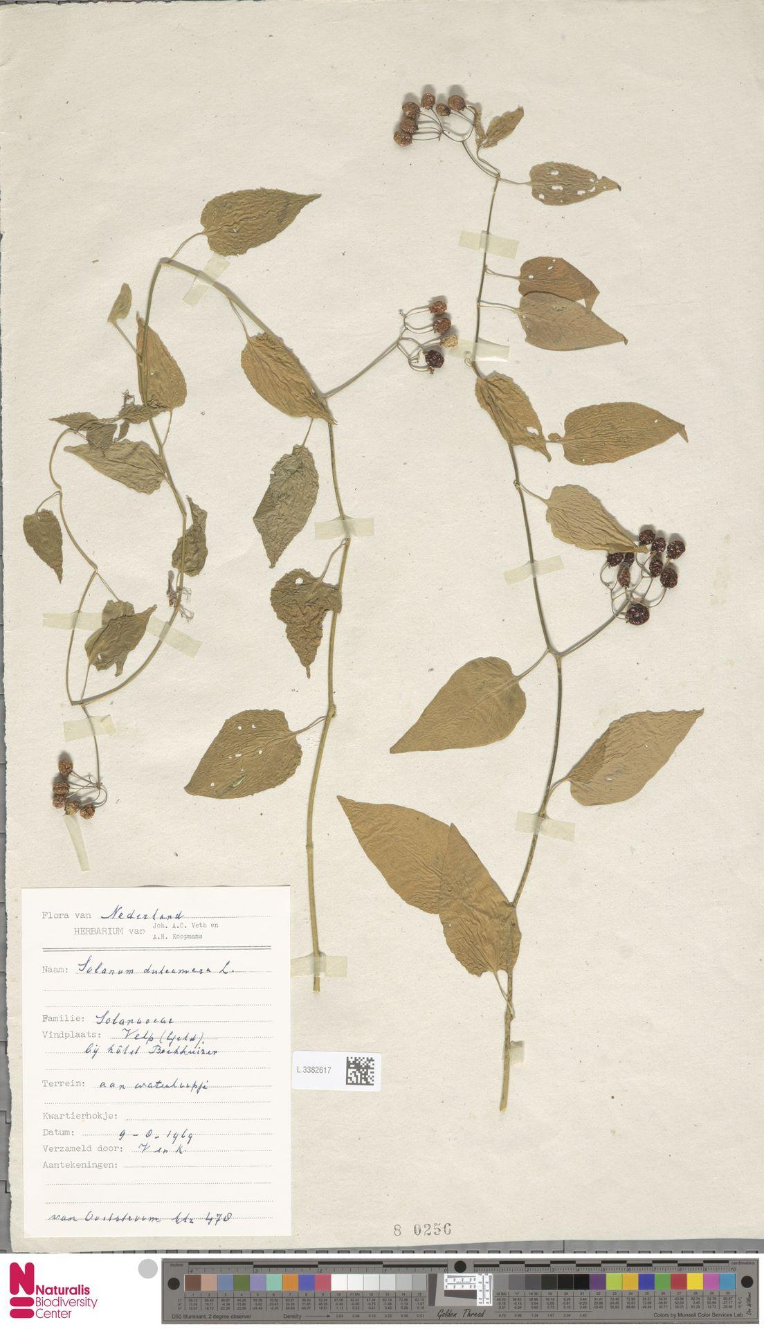 L.3382617 | Solanum dulcamara L.