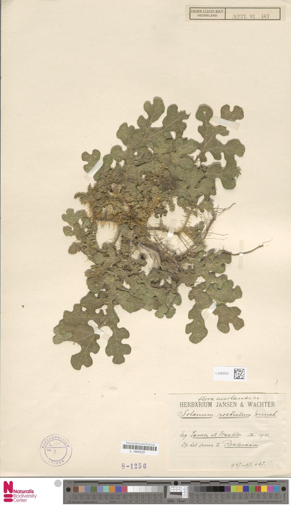 L.3383223 | Solanum rostratum Dunal