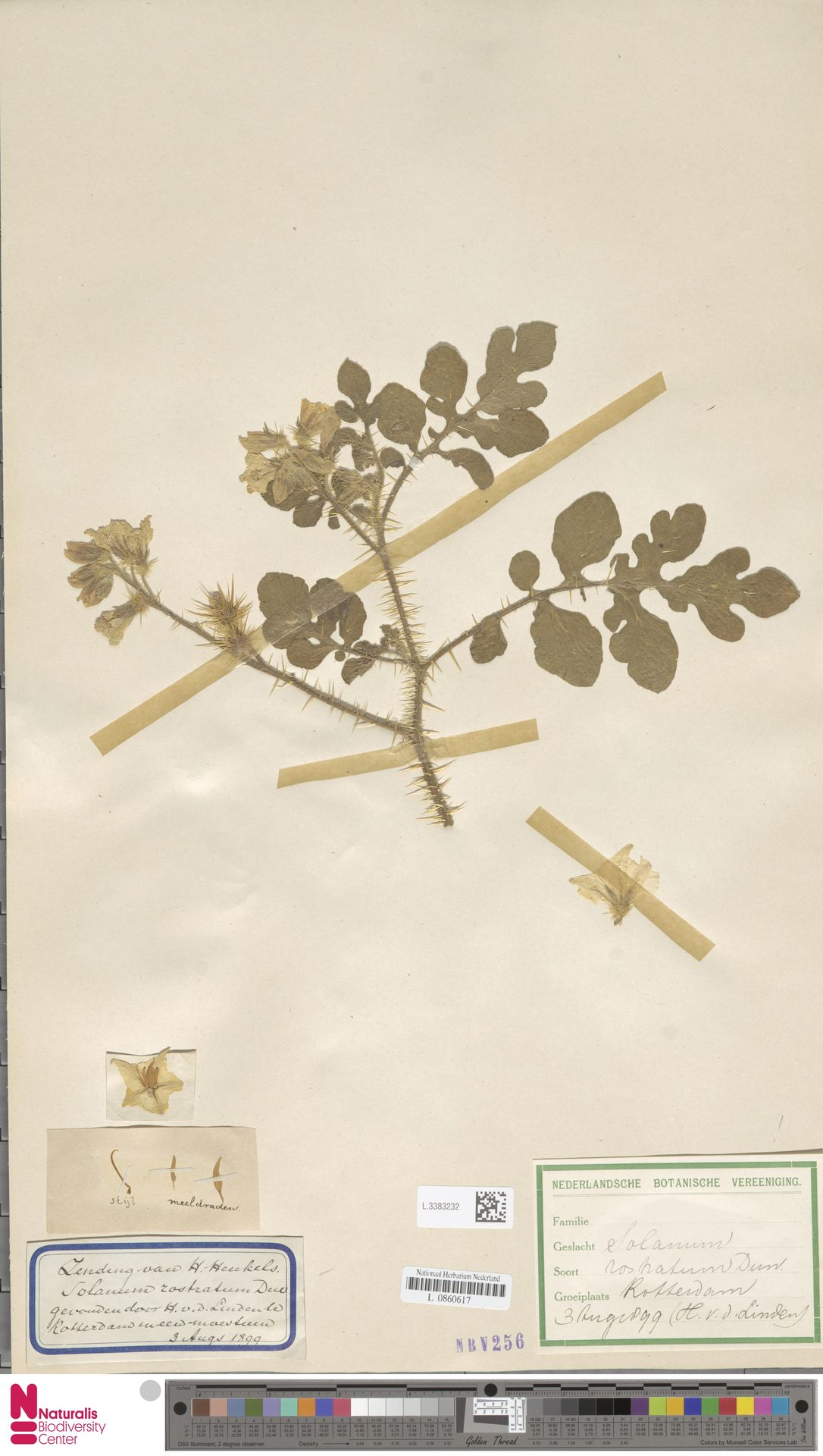 L.3383232 | Solanum rostratum Dunal