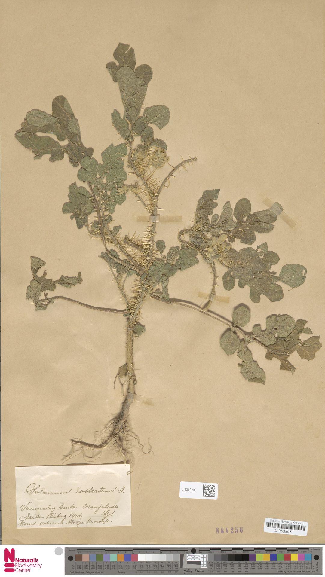 L.3383233 | Solanum rostratum Dunal