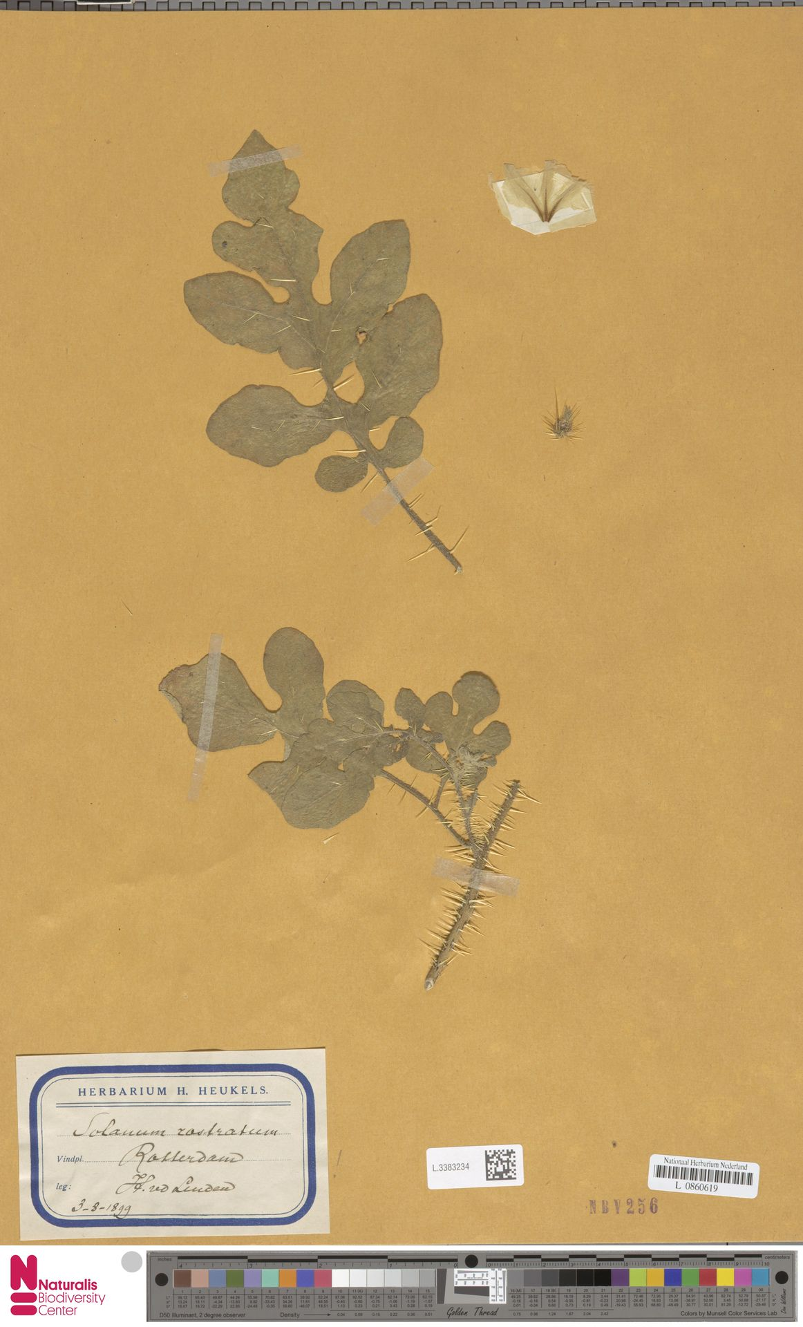 L.3383234 | Solanum rostratum Dunal