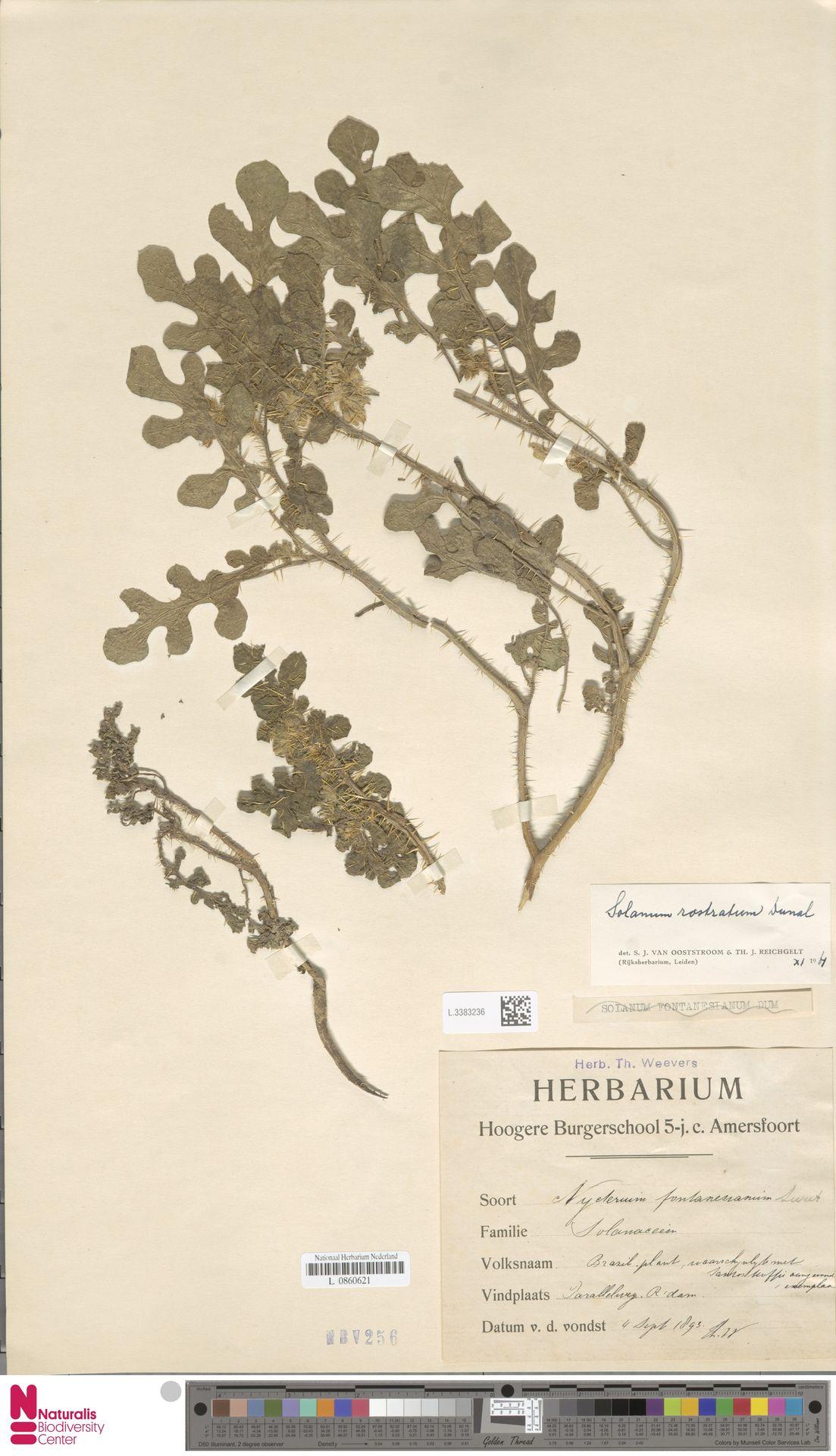 L.3383236 | Solanum rostratum Dunal