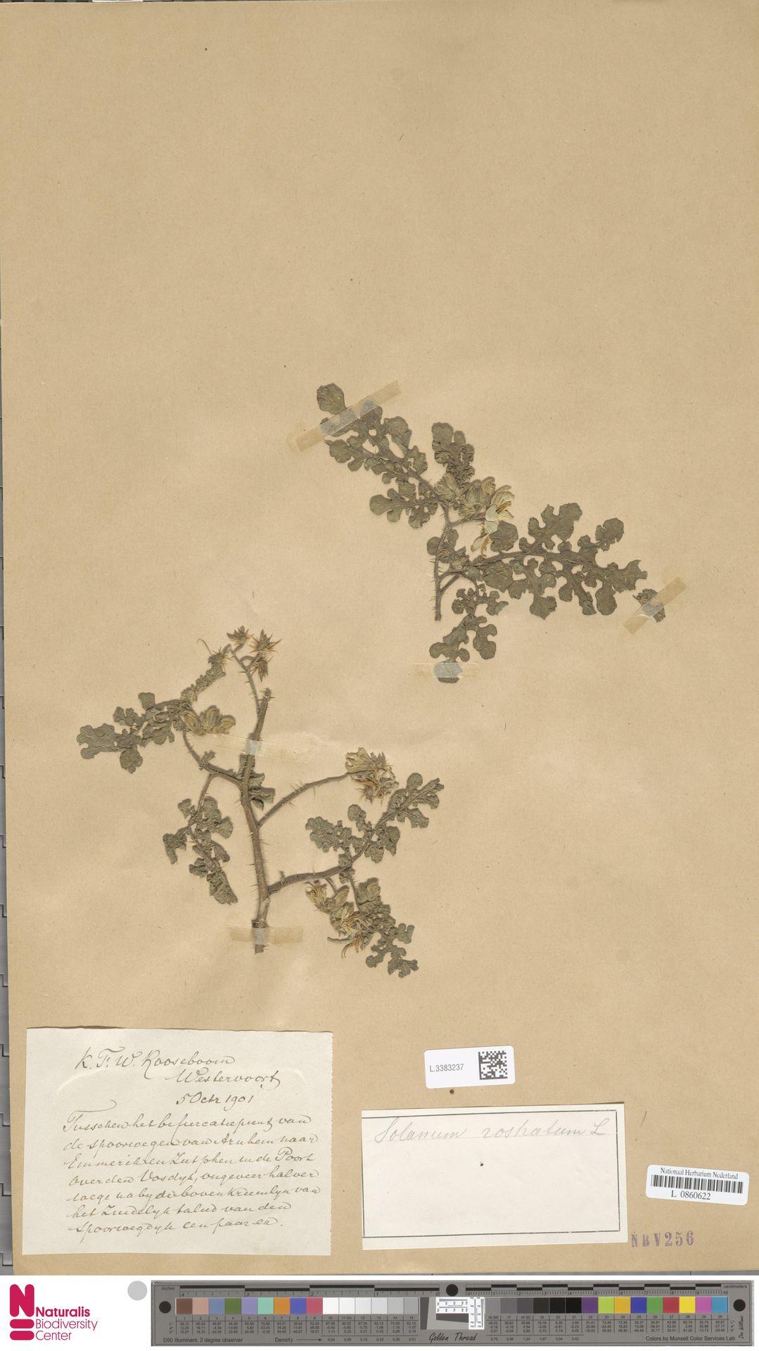 L.3383237 | Solanum rostratum Dunal
