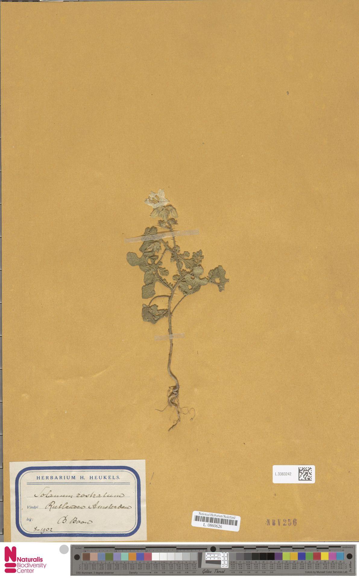 L.3383242 | Solanum rostratum Dunal