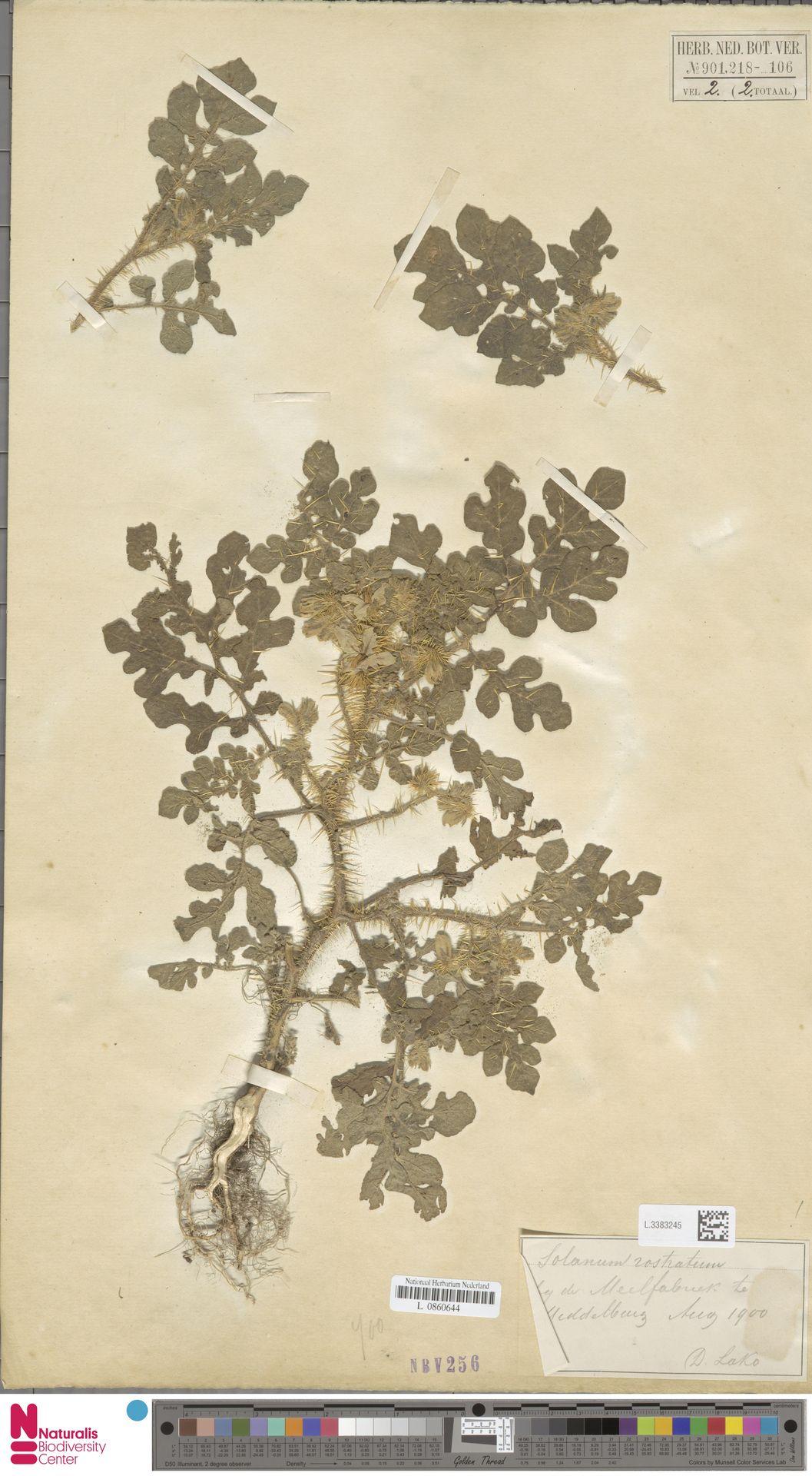 L.3383245 | Solanum rostratum Dunal