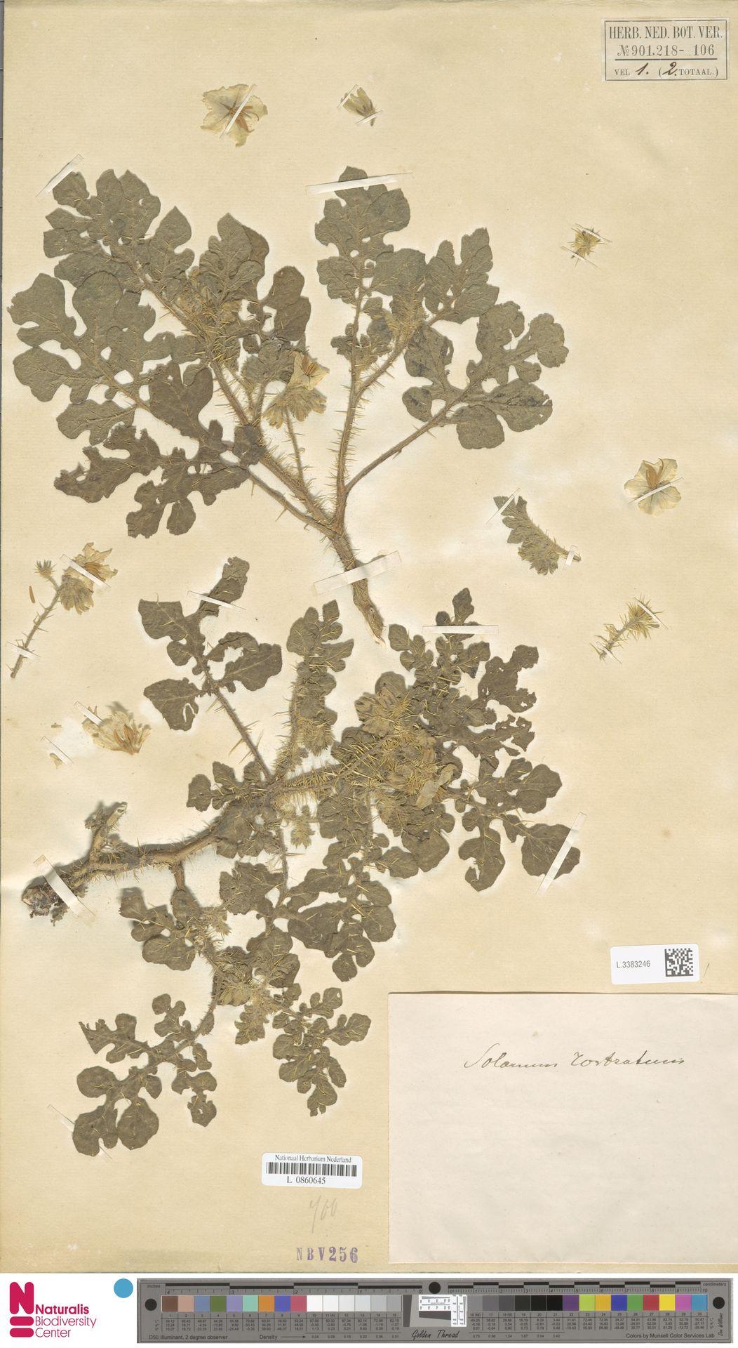 L.3383246 | Solanum rostratum Dunal