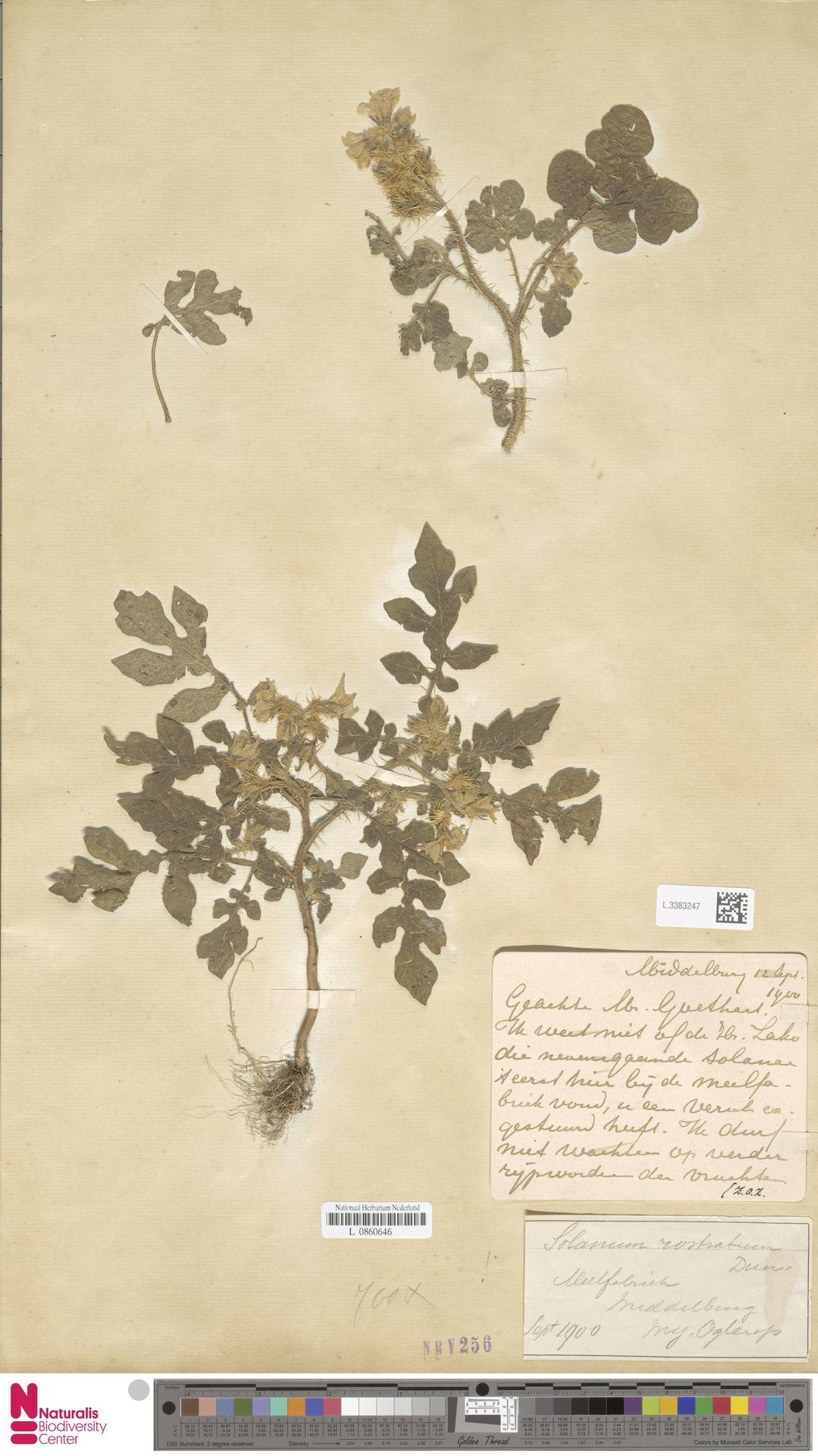L.3383247 | Solanum rostratum Dunal