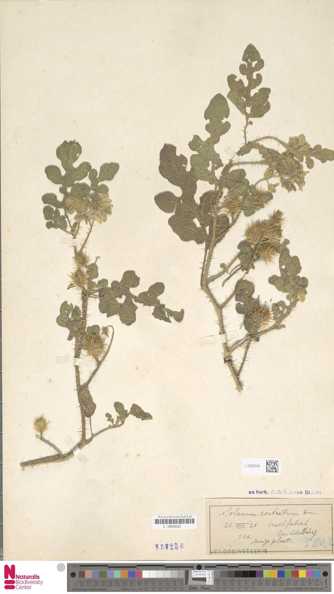 L.3383249 | Solanum rostratum Dunal