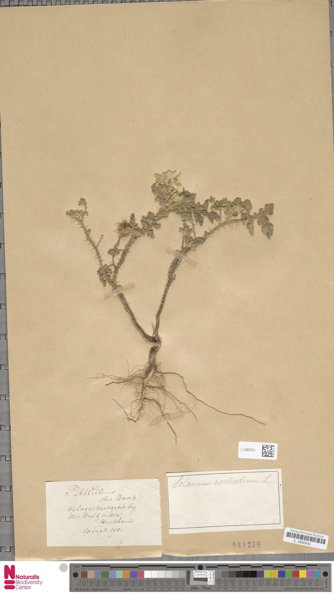 L.3383251   Solanum rostratum Dunal