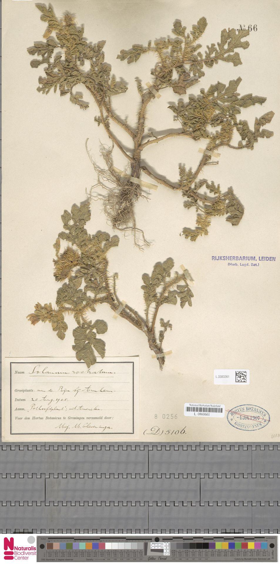 L.3383261 | Solanum rostratum Dunal