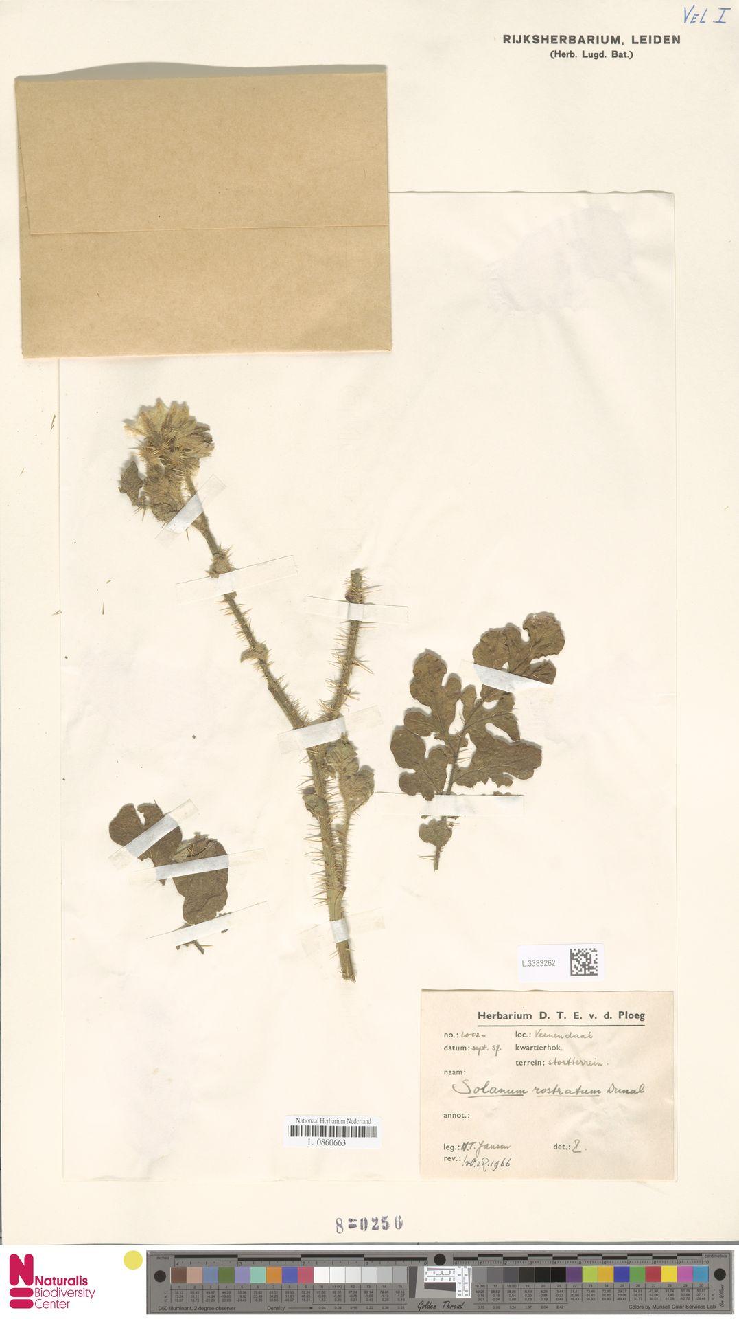L.3383262 | Solanum rostratum Dunal