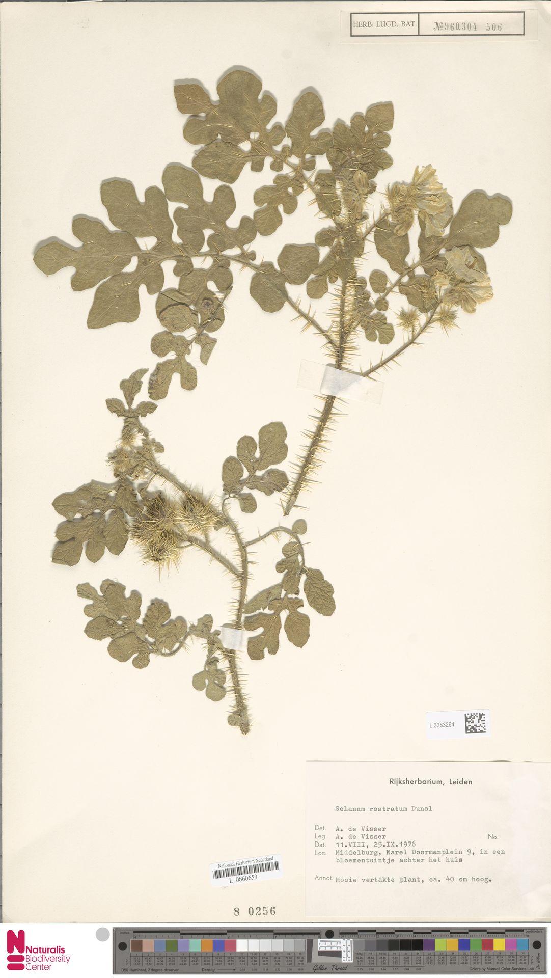 L.3383264 | Solanum rostratum Dunal