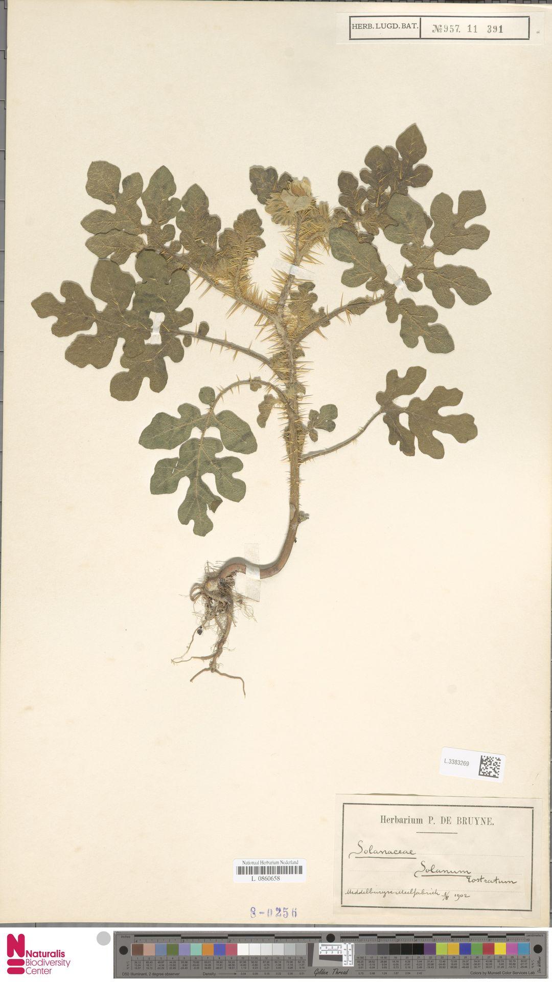 L.3383269 | Solanum rostratum Dunal