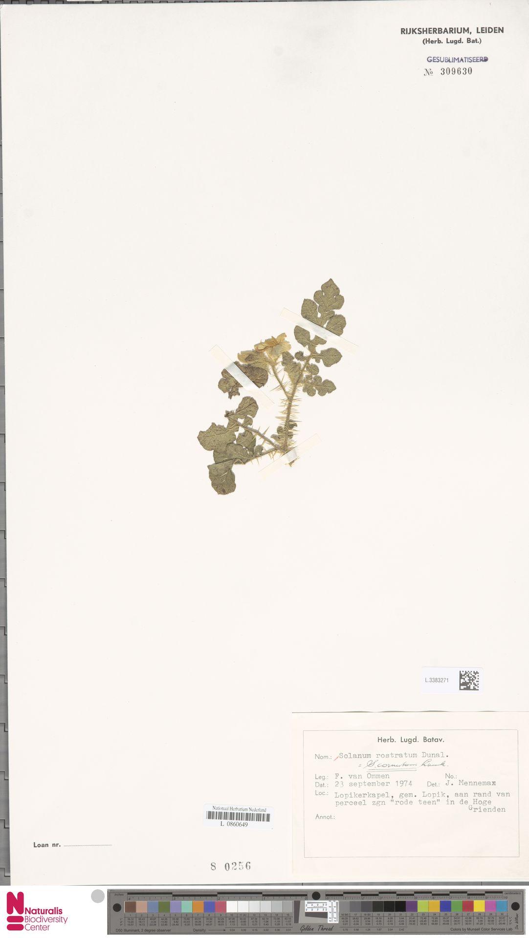 L.3383271   Solanum rostratum Dunal