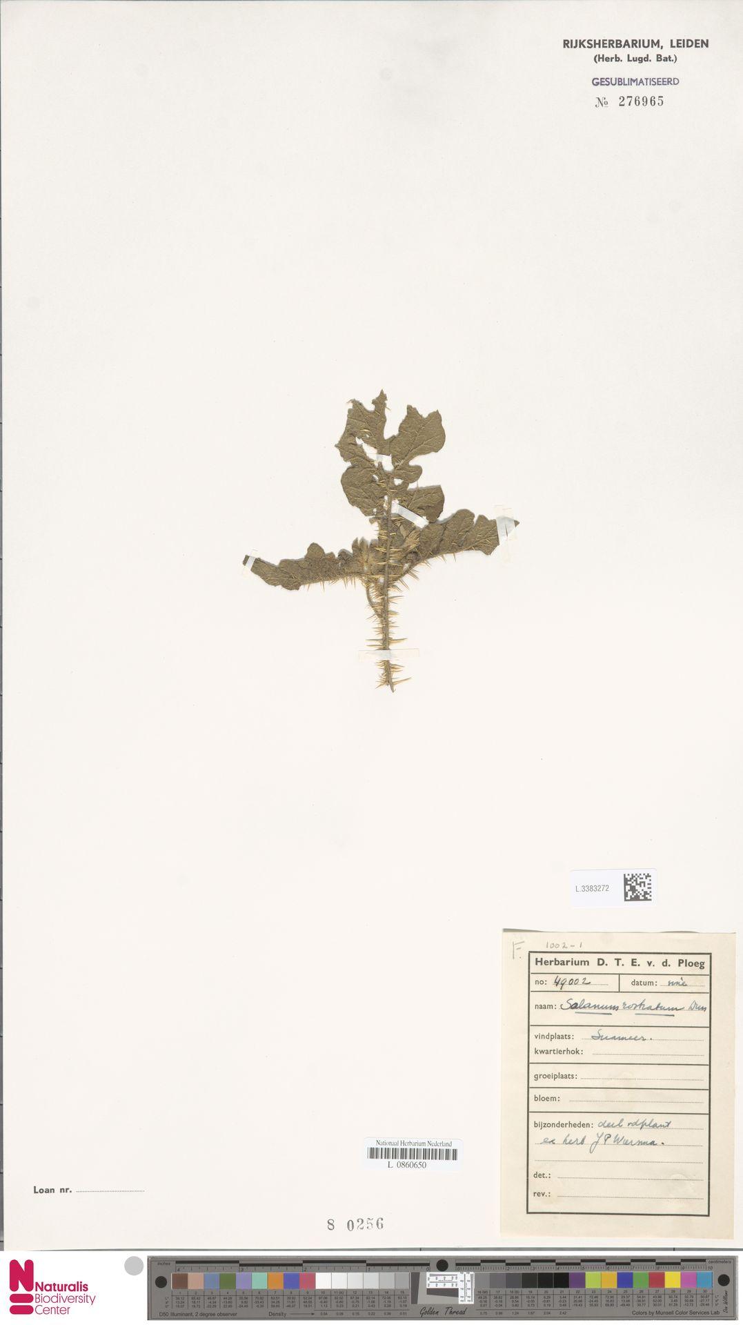 L.3383272 | Solanum rostratum Dunal