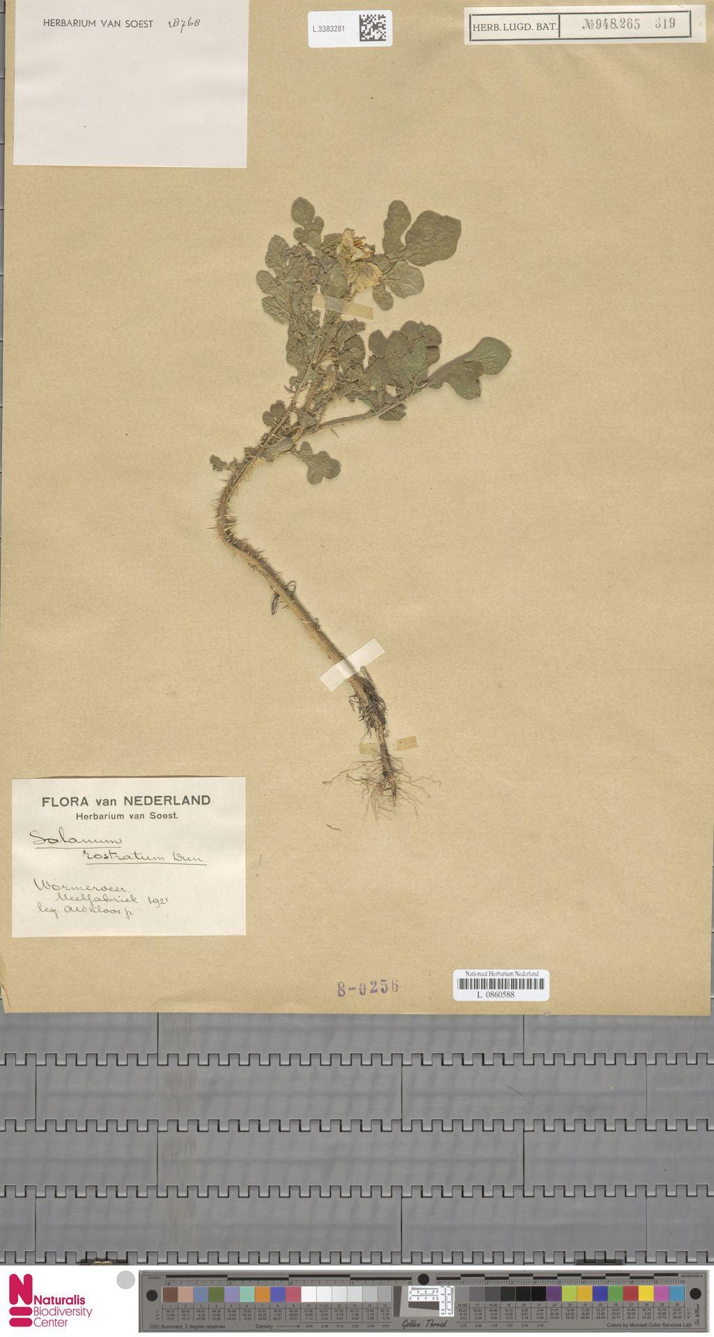 L.3383281 | Solanum rostratum Dunal