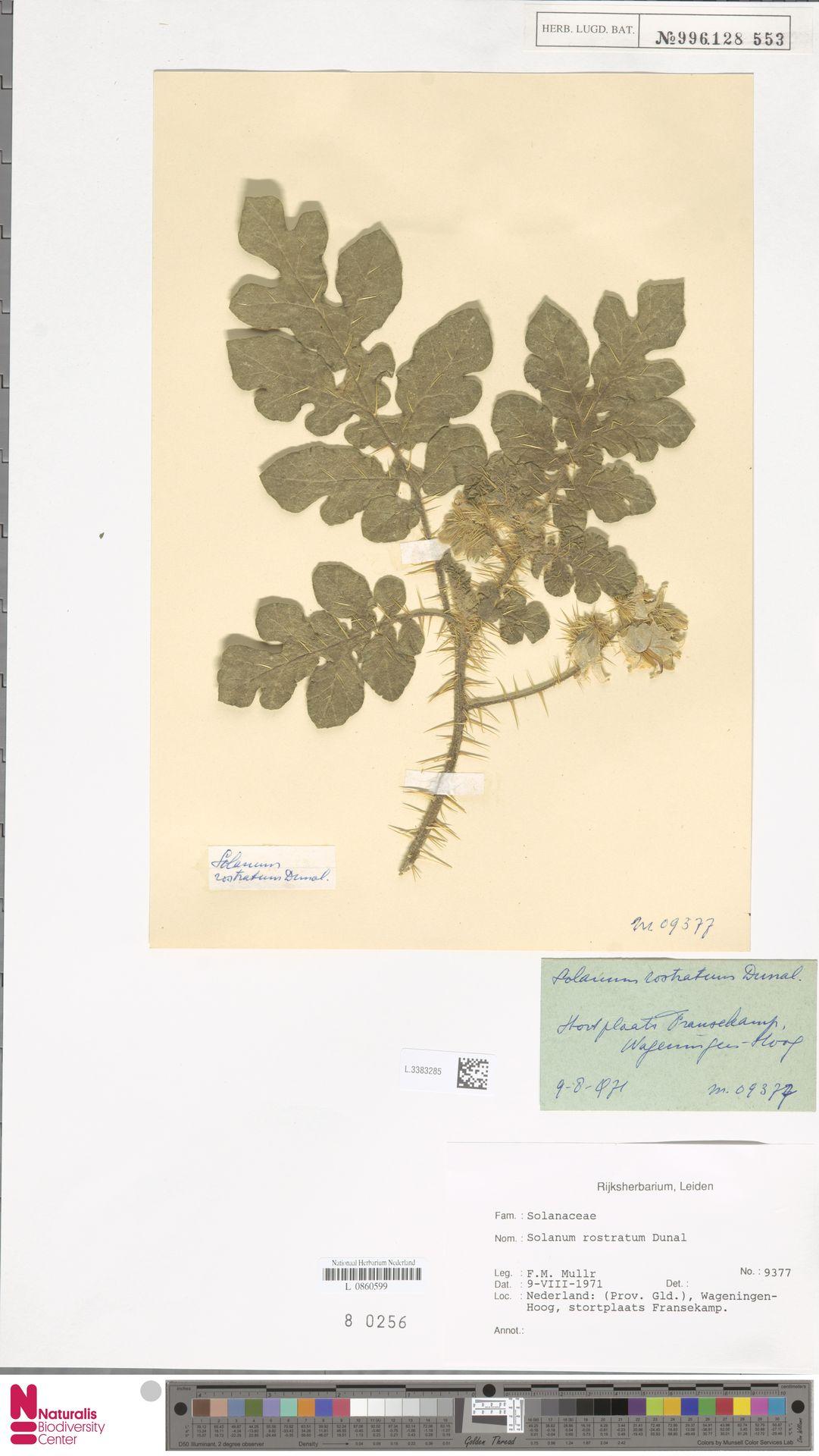 L.3383285 | Solanum rostratum Dunal