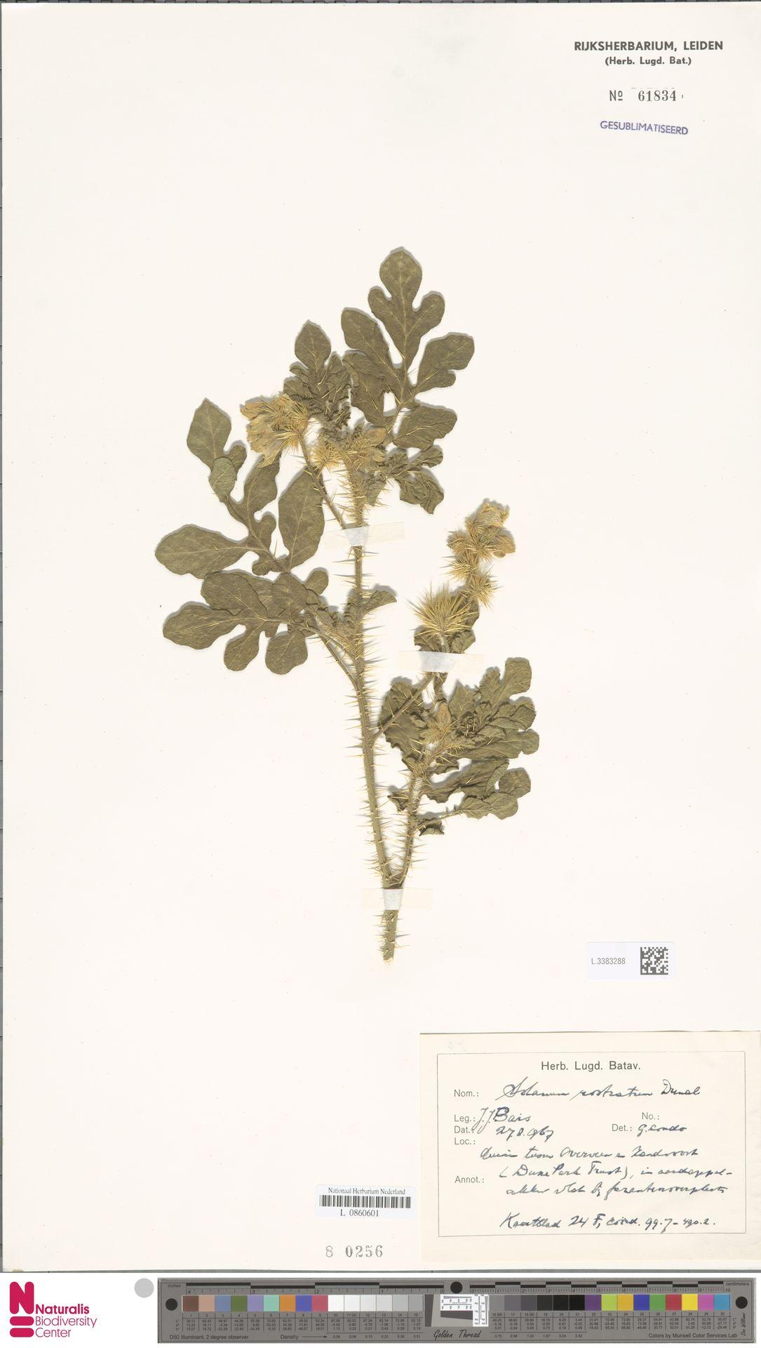 L.3383288 | Solanum rostratum Dunal