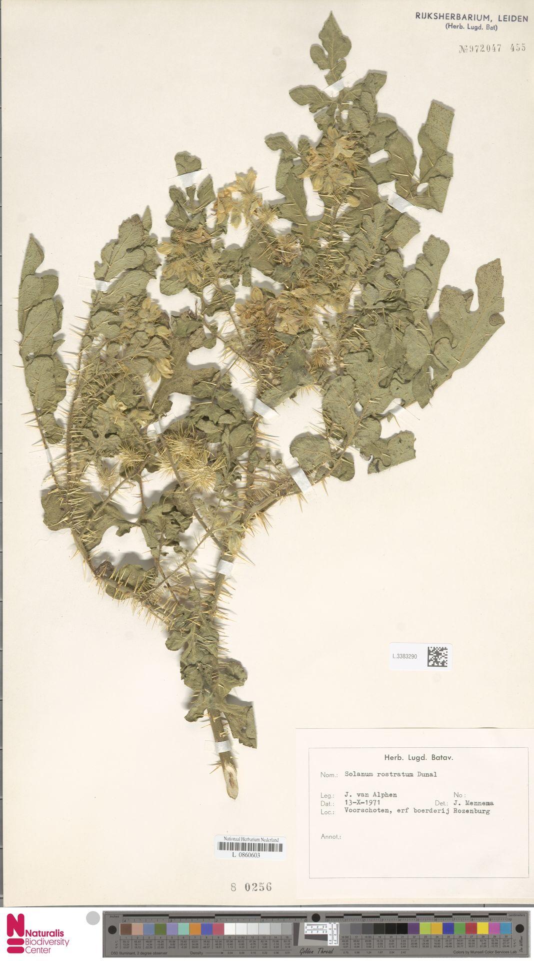 L.3383290 | Solanum rostratum Dunal