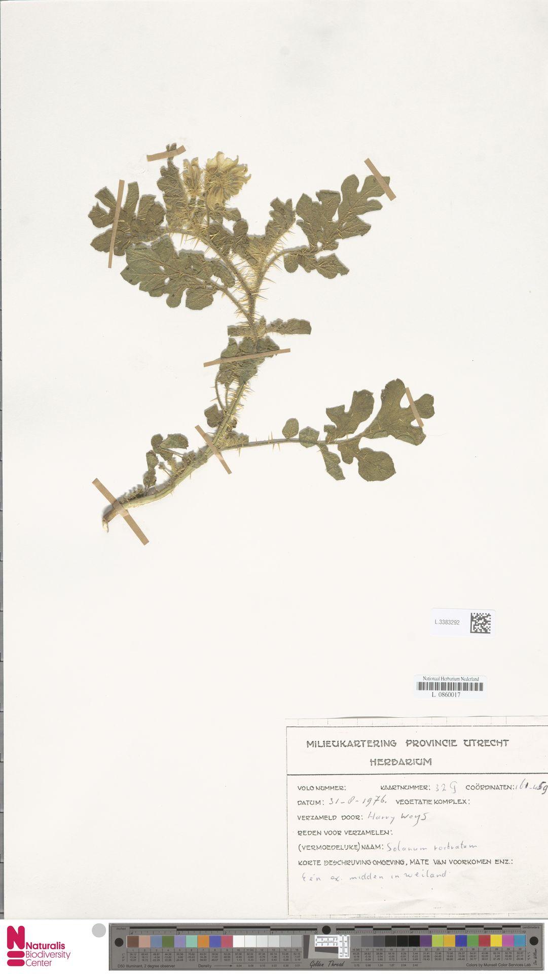 L.3383292 | Solanum rostratum Dunal
