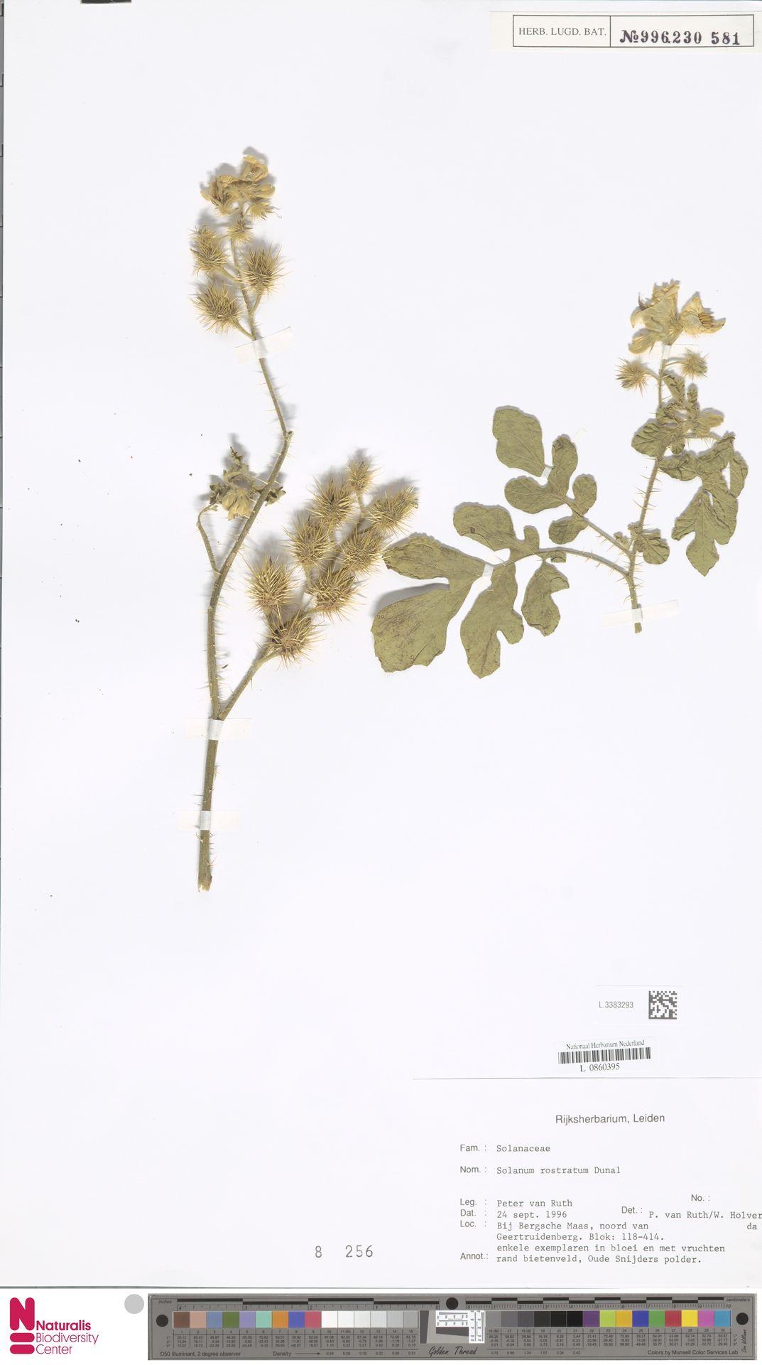 L.3383293 | Solanum rostratum Dunal